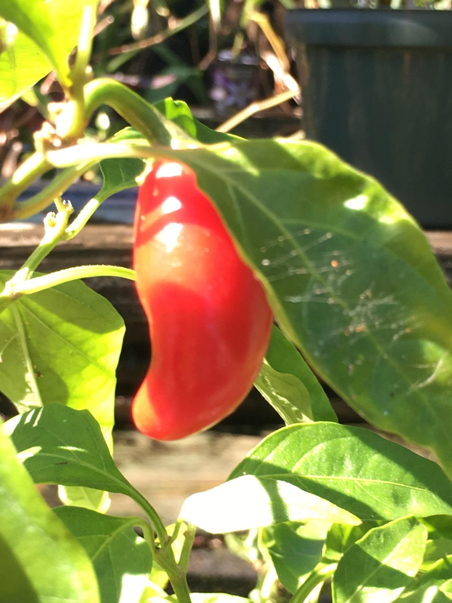 Red hot chili pepper  by pamela.kanarr