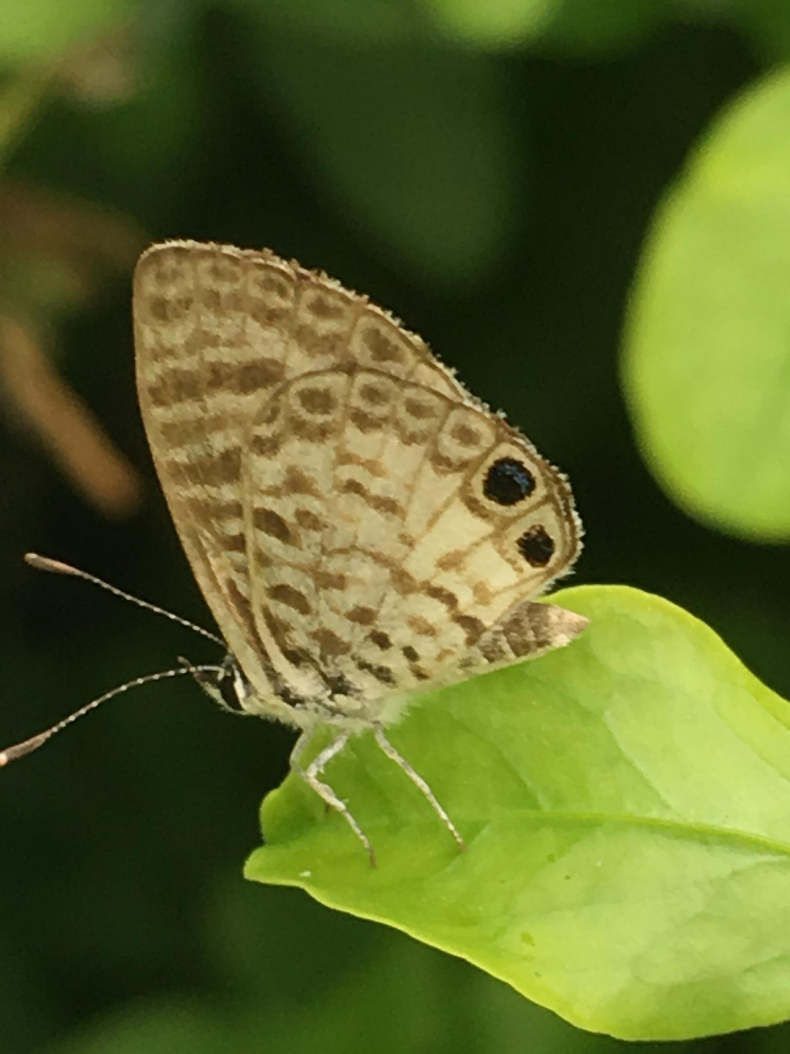 Cassias Blue butterfly  by pamela.kanarr