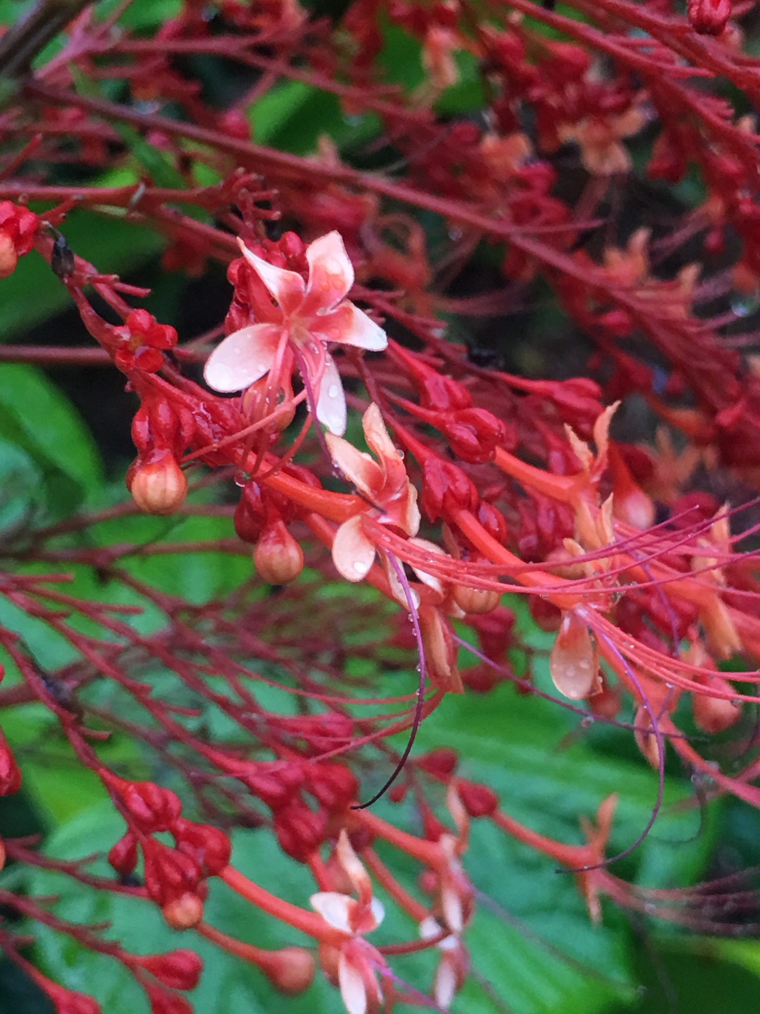 coral collored blossoms by pamela.kanarr