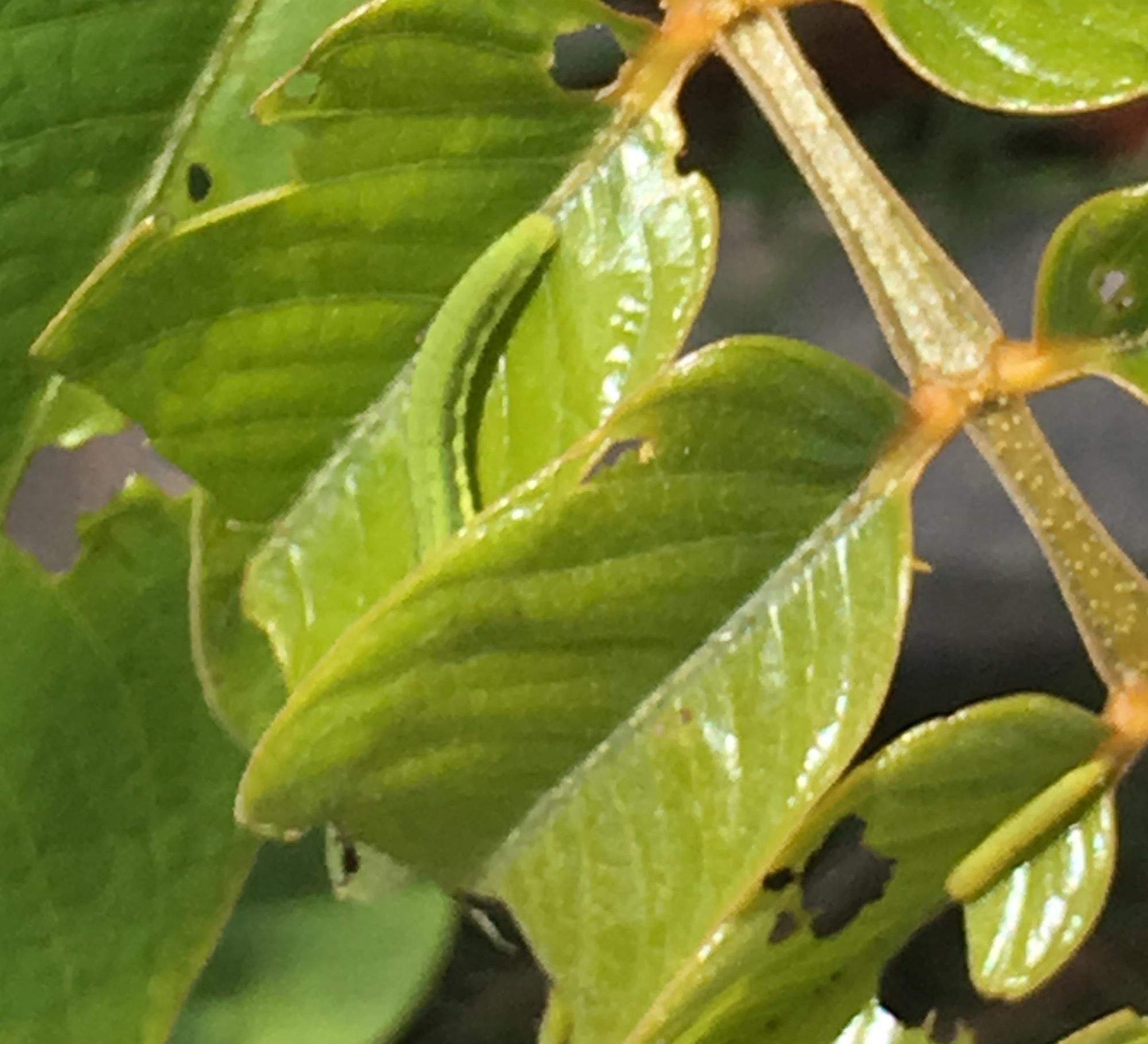 Sulfur caterpillars  by pamela.kanarr