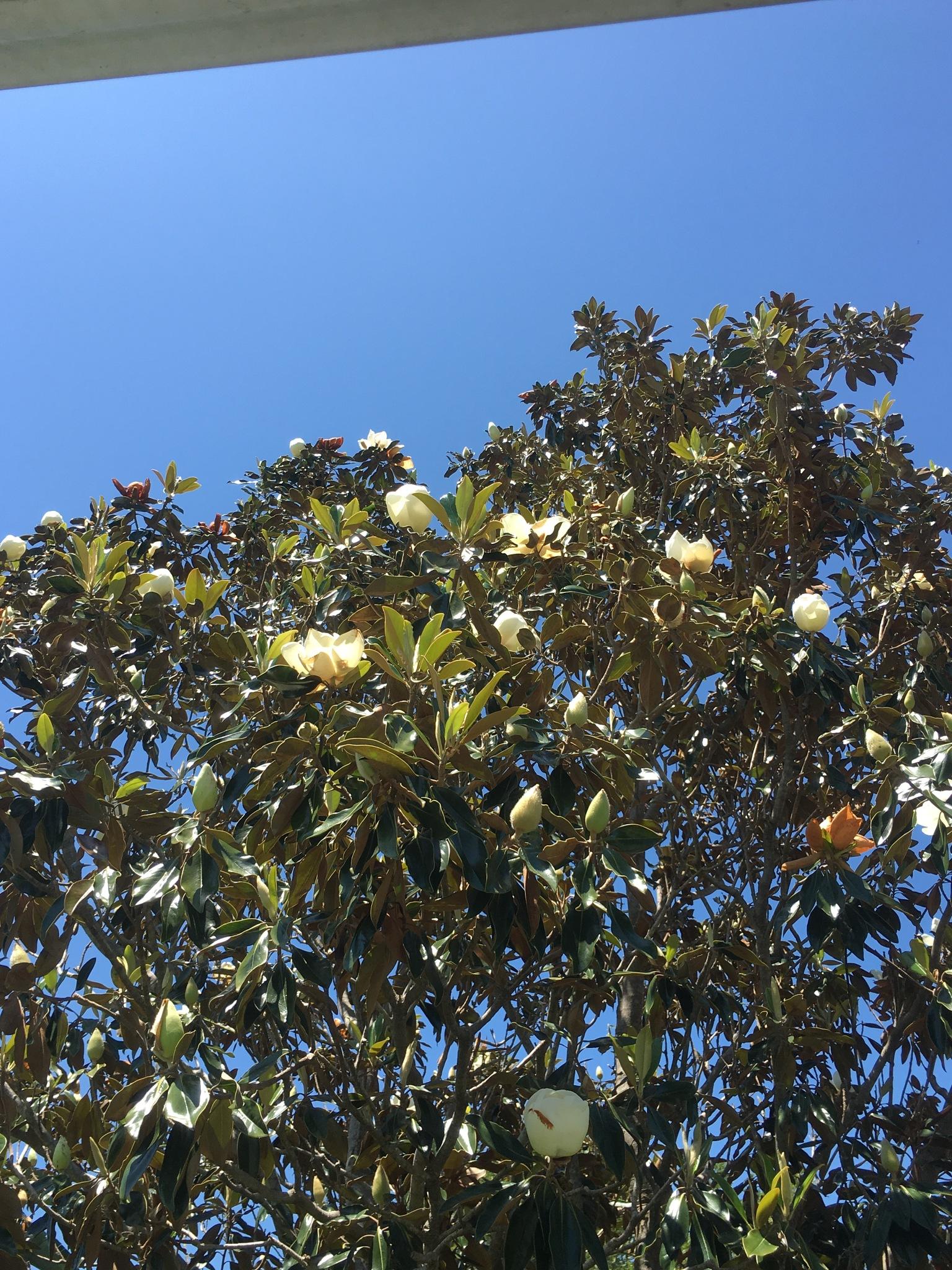 Magnolia tree by pamela.kanarr