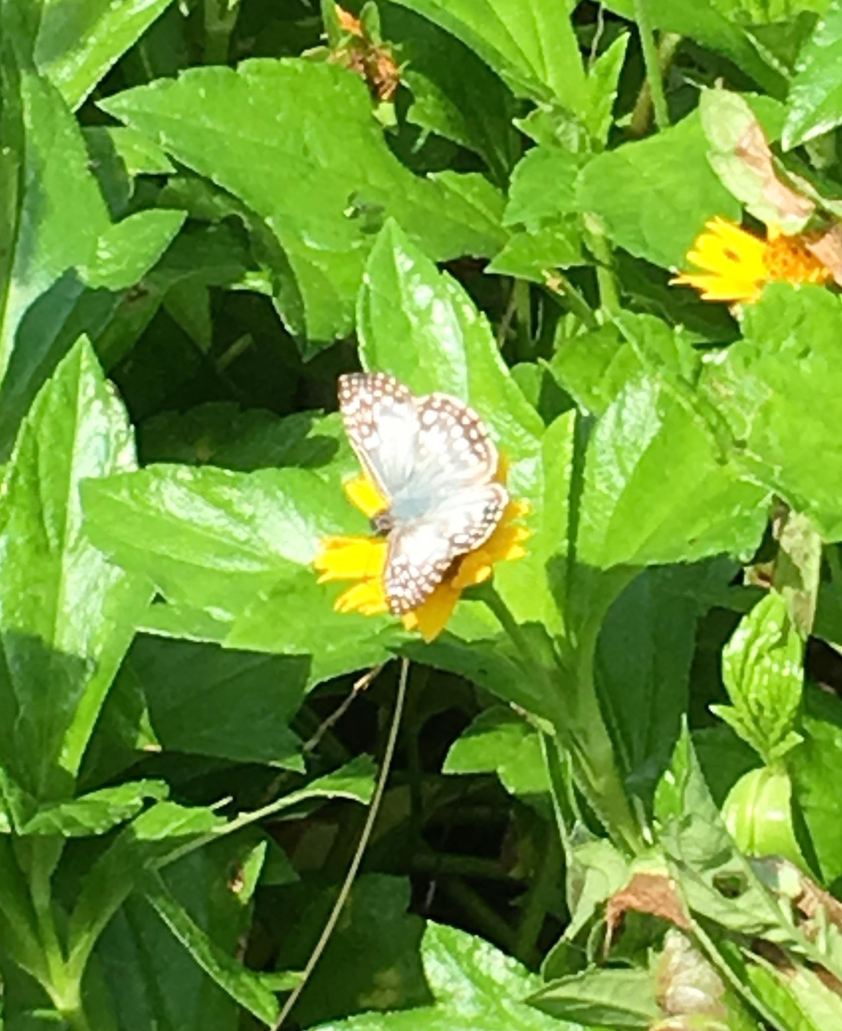 Tropical checkered skipper butterfly  by pamela.kanarr