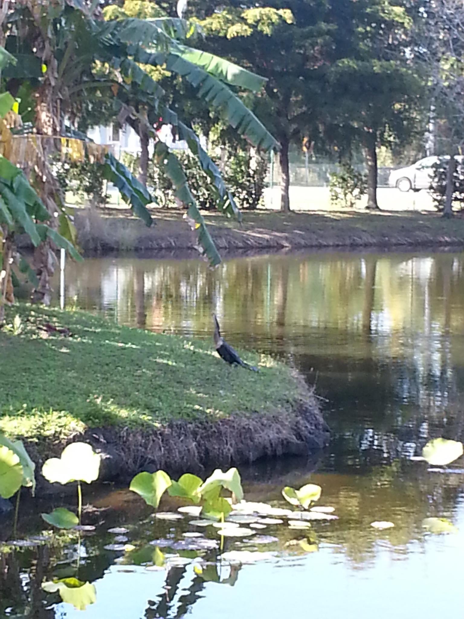 pond side cormorant by pamela.kanarr