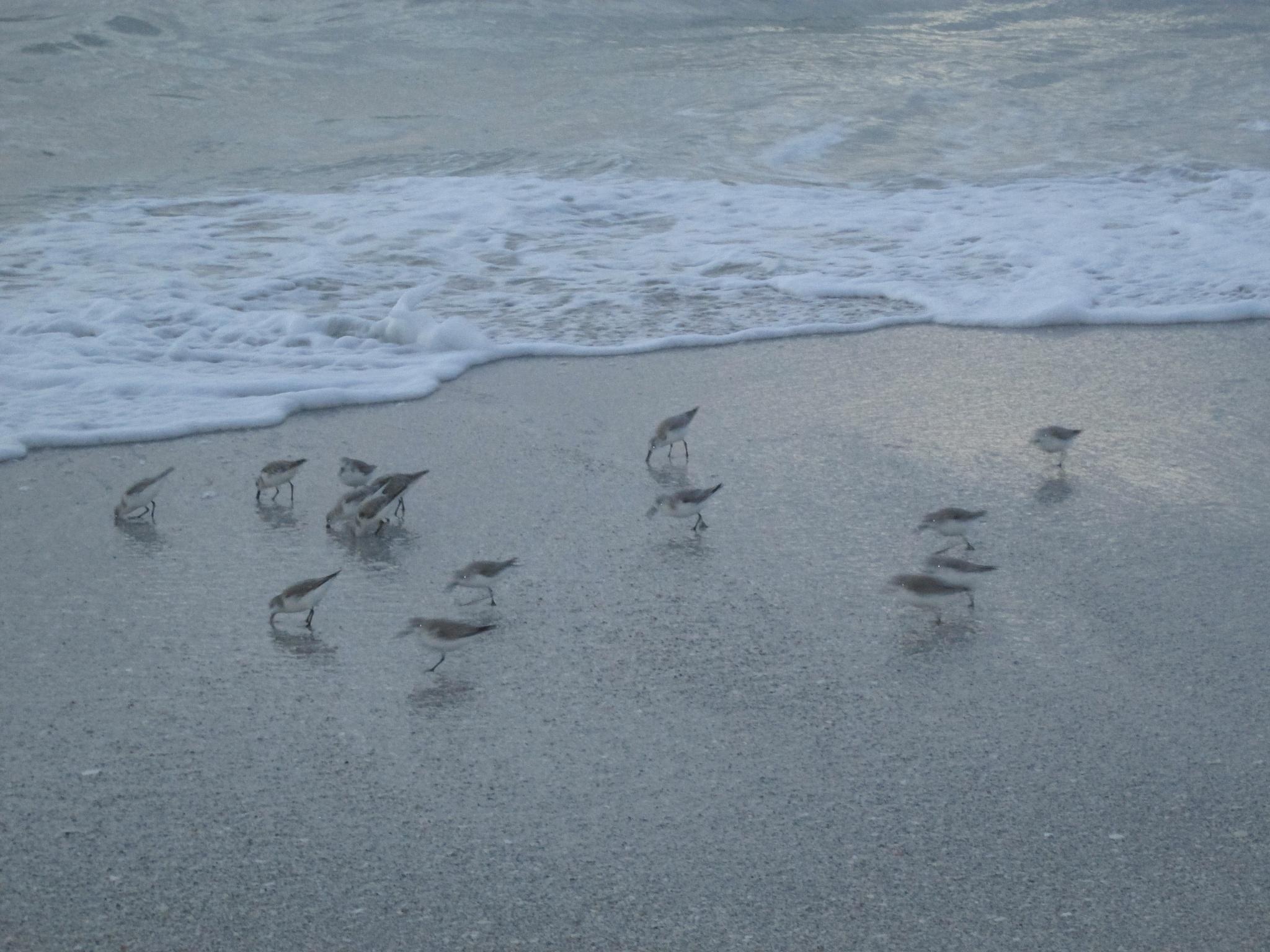 little birds at the beach by pamela.kanarr