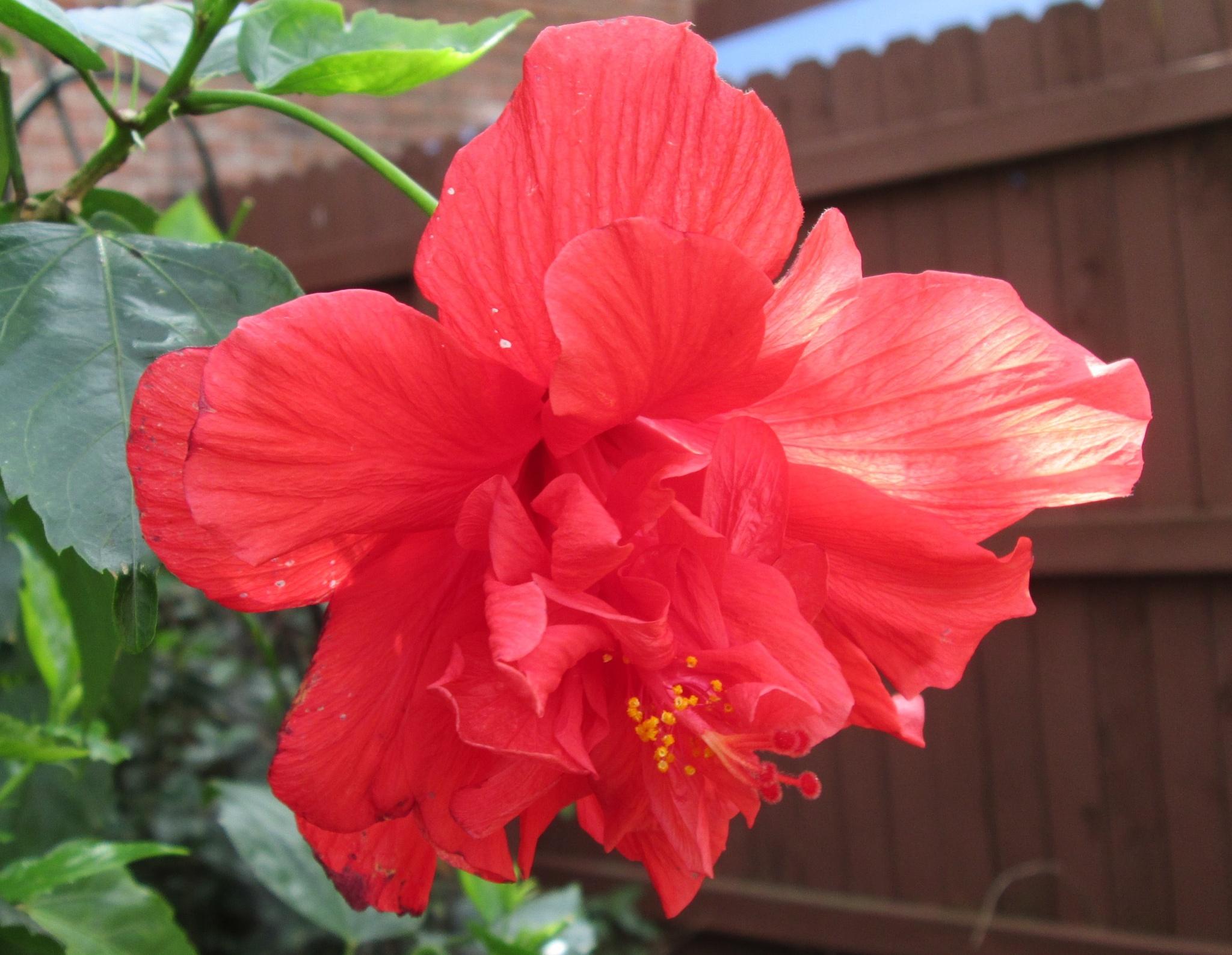 red double bloom hibiscus by pamela.kanarr