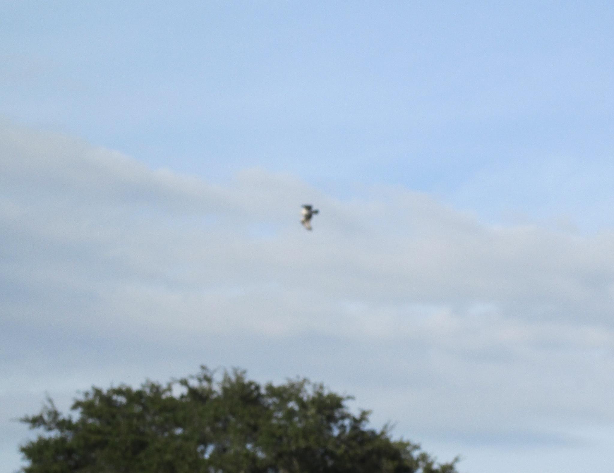 osprey flight by pamela.kanarr