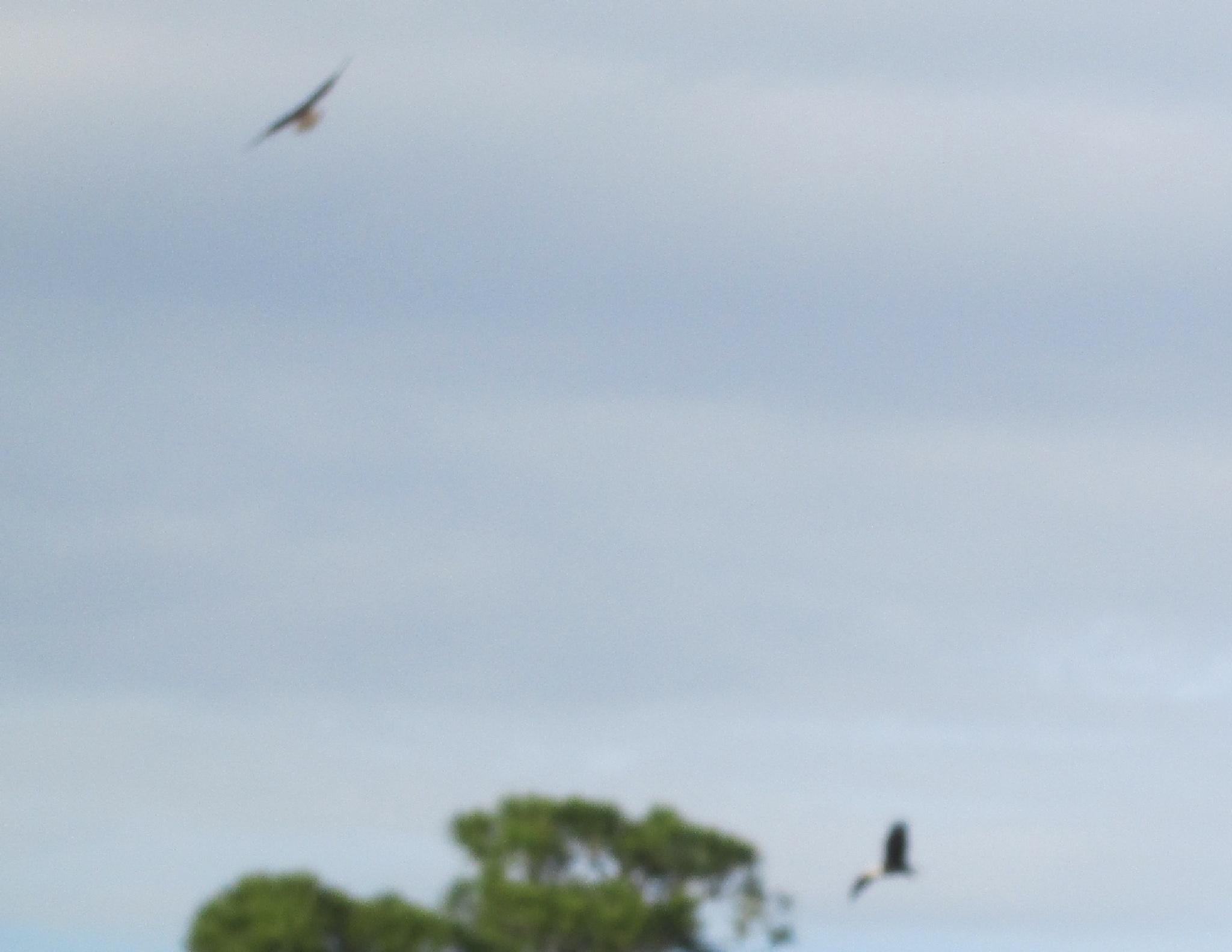 osprey dance in flight by pamela.kanarr
