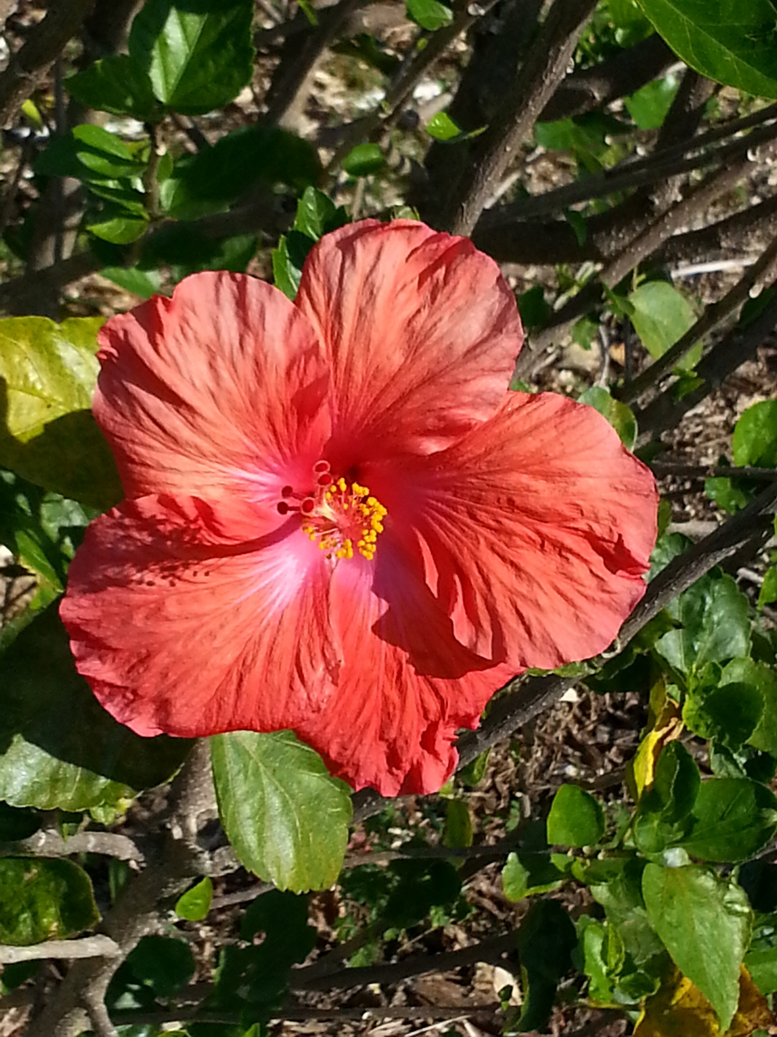 red hibiscus from above by pamela.kanarr
