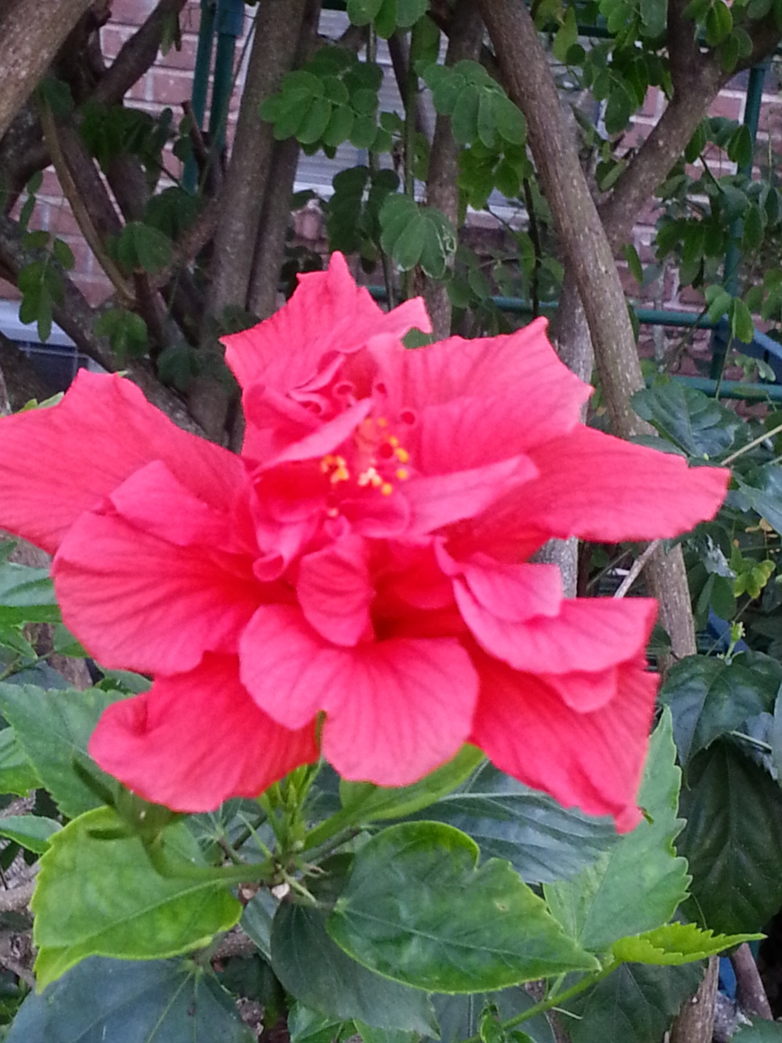 double bloom red hibiscus by pamela.kanarr