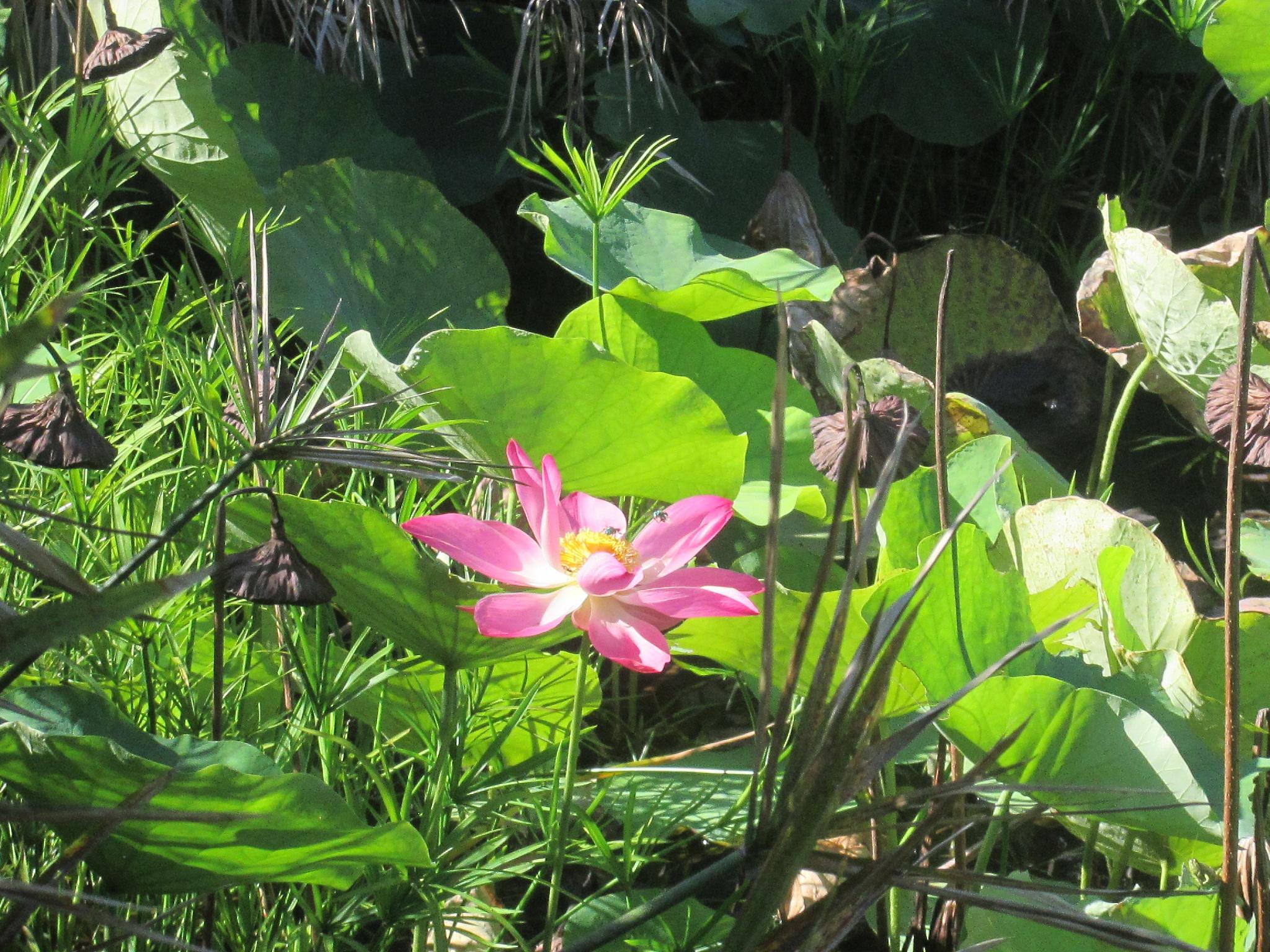lotus blossom 2 by pamela.kanarr