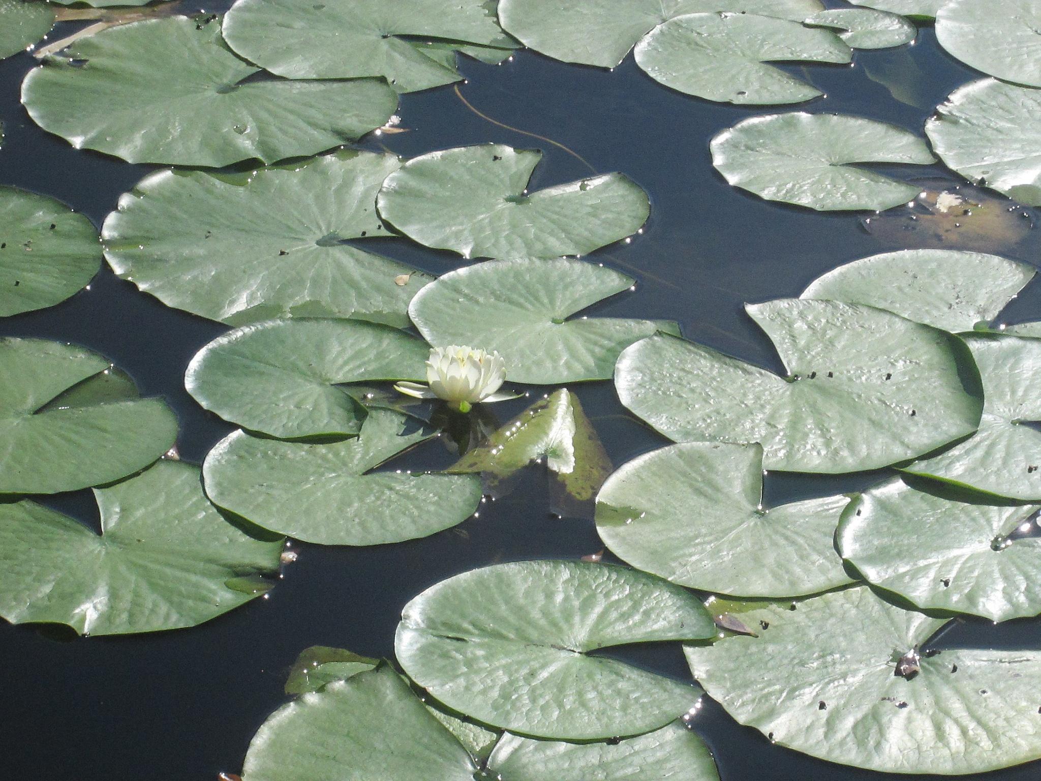 water lilly by pamela.kanarr