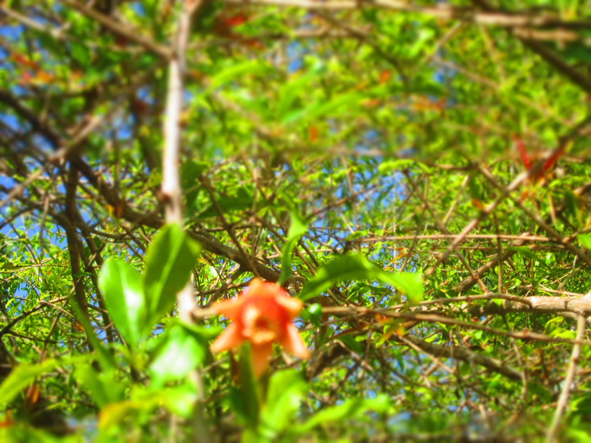 pomegranate blosom  by pamela.kanarr