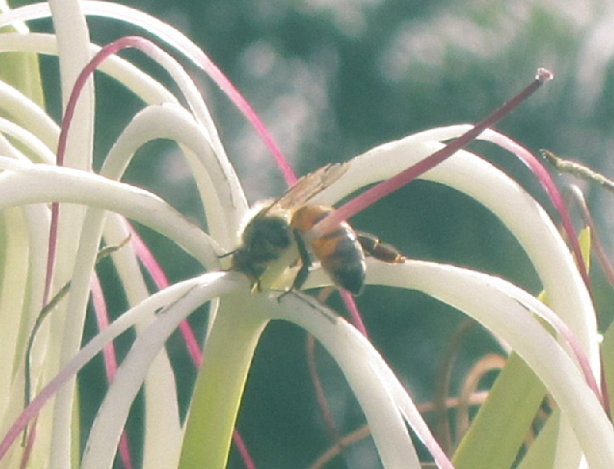 bee on spider lily by pamela.kanarr