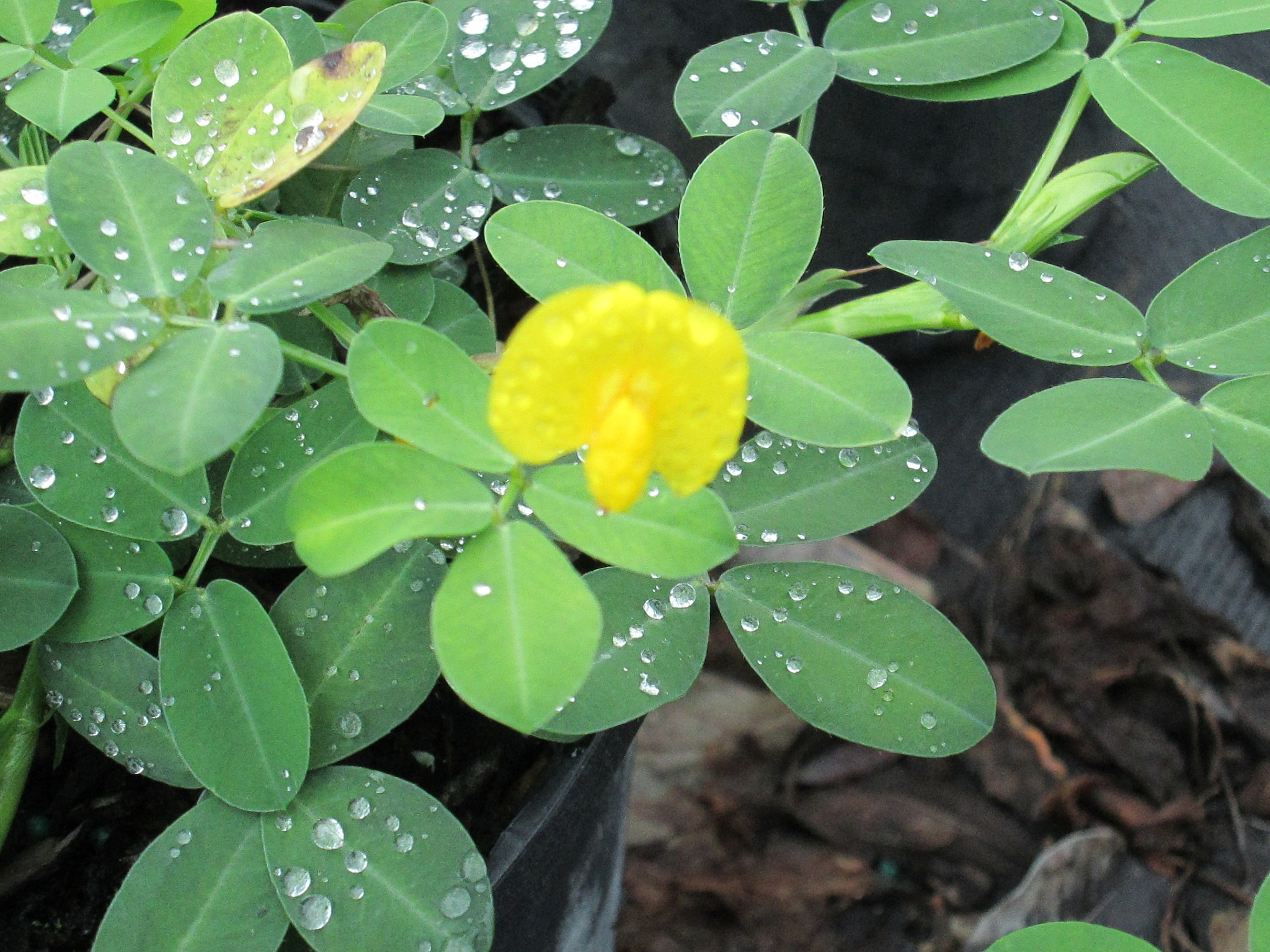 yellow pea blossom after the rain by pamela.kanarr