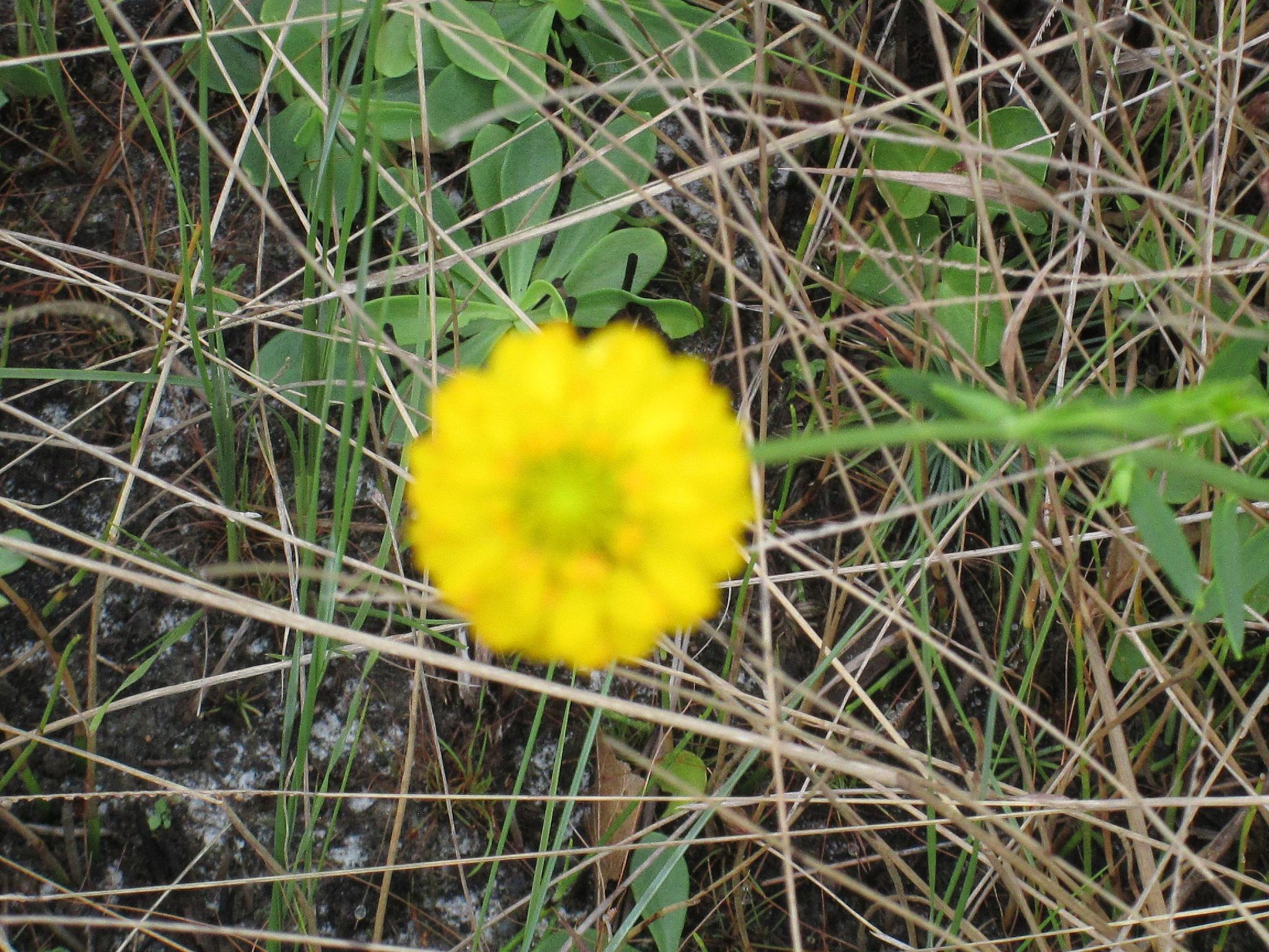 yellow clover by pamela.kanarr