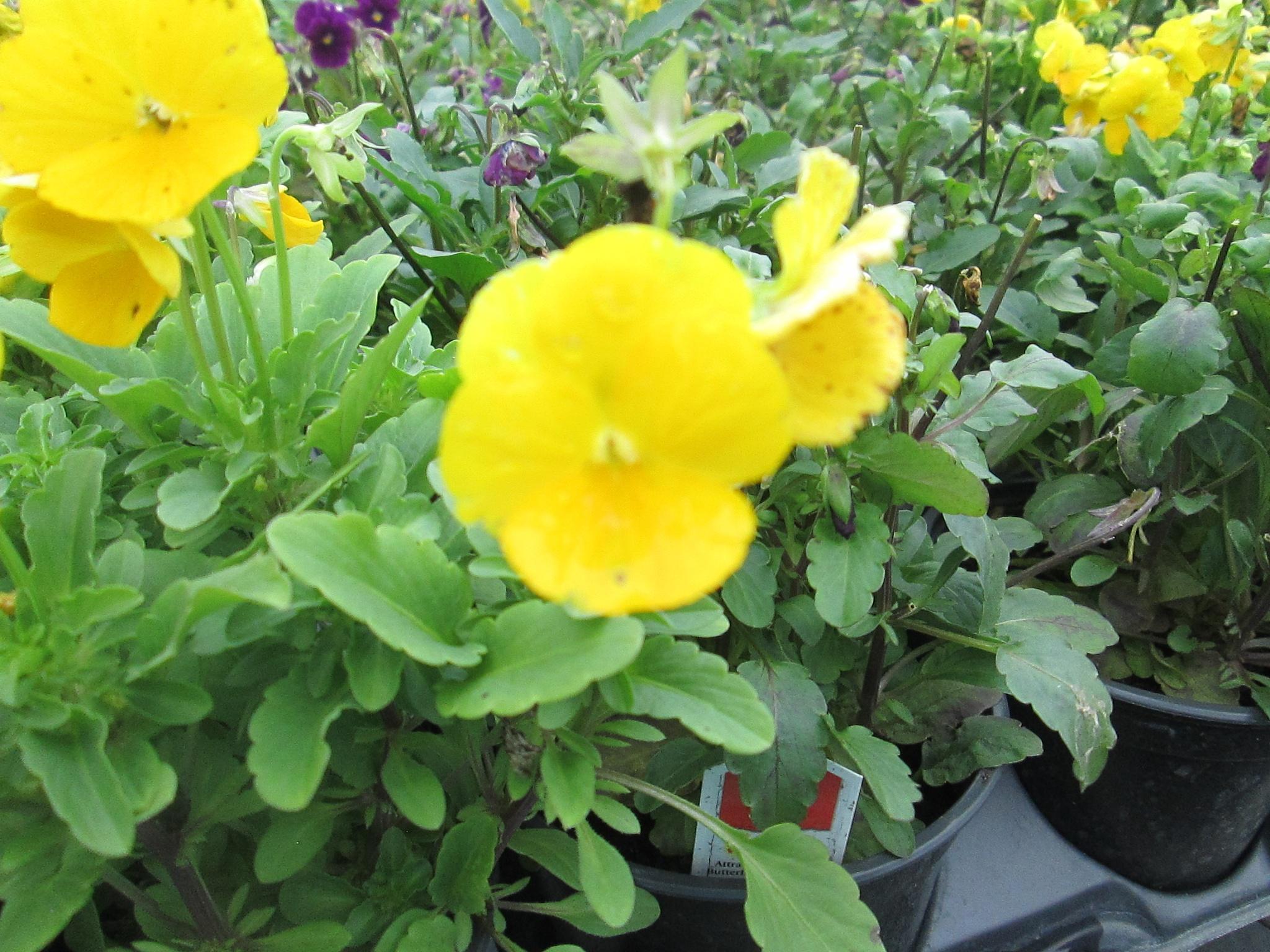 yellow patunias by pamela.kanarr