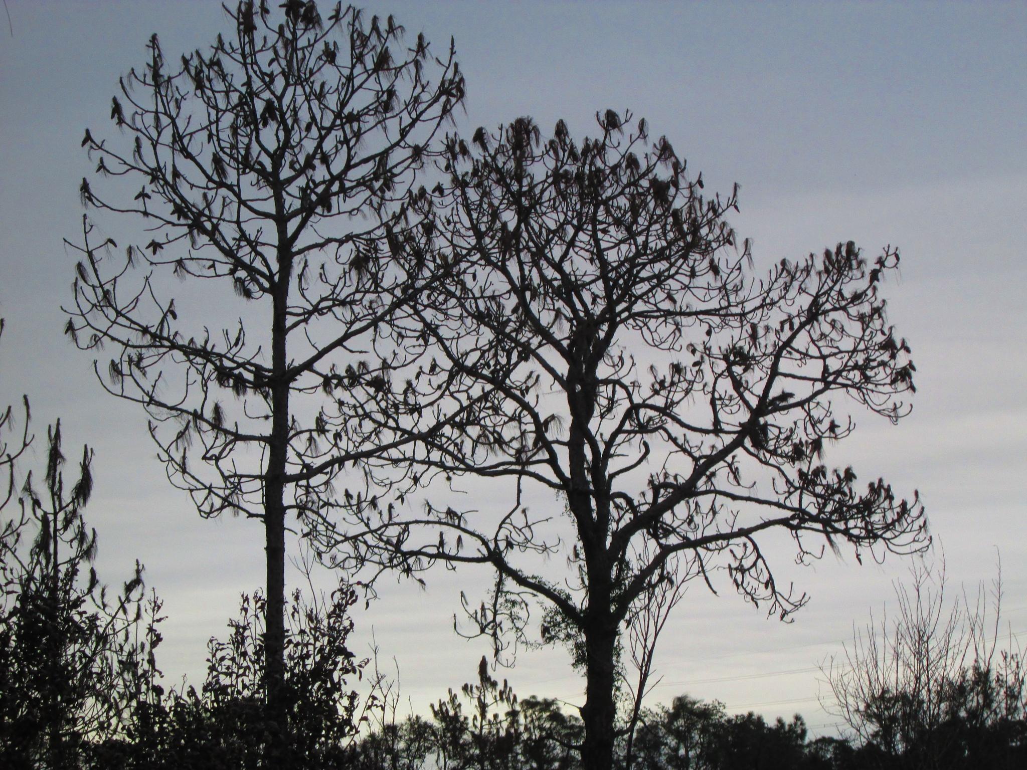 cypress sillouette by pamela.kanarr