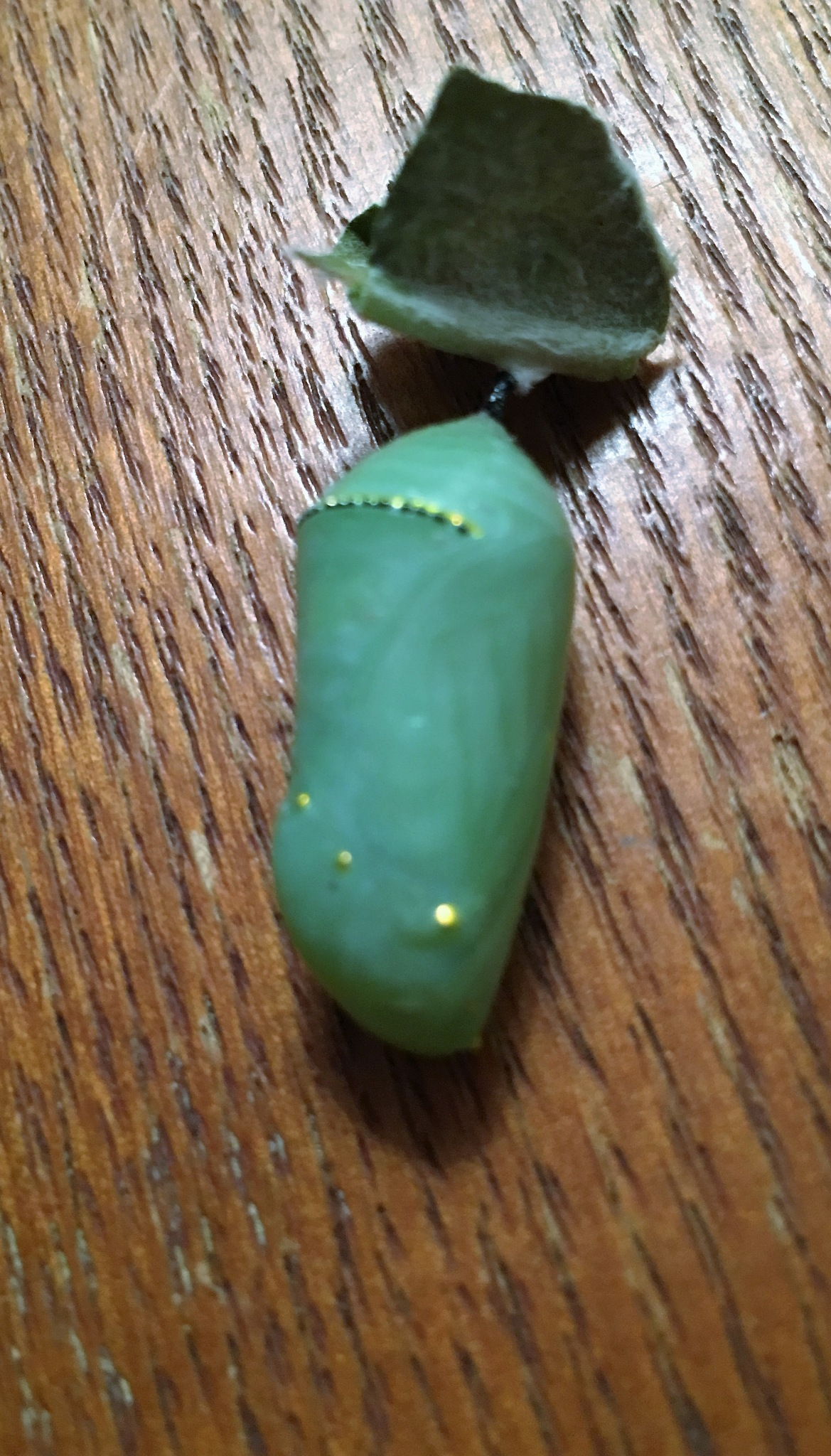 monarch chrysalis by pamela.kanarr