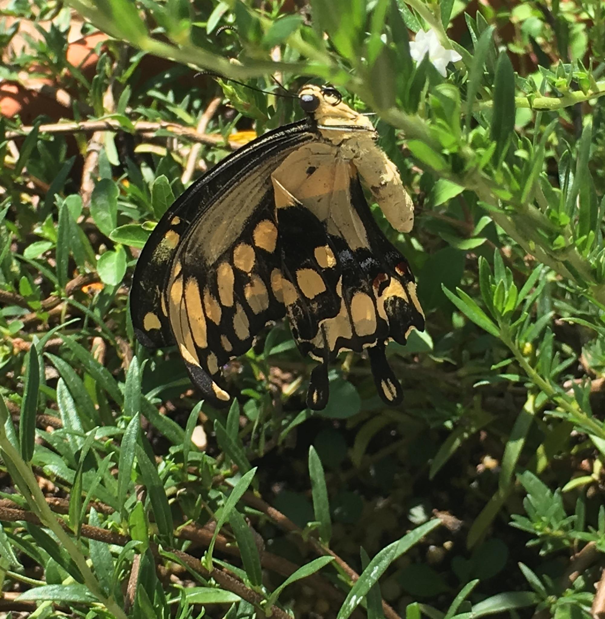 Giant swallowtail butterfly  by pamela.kanarr