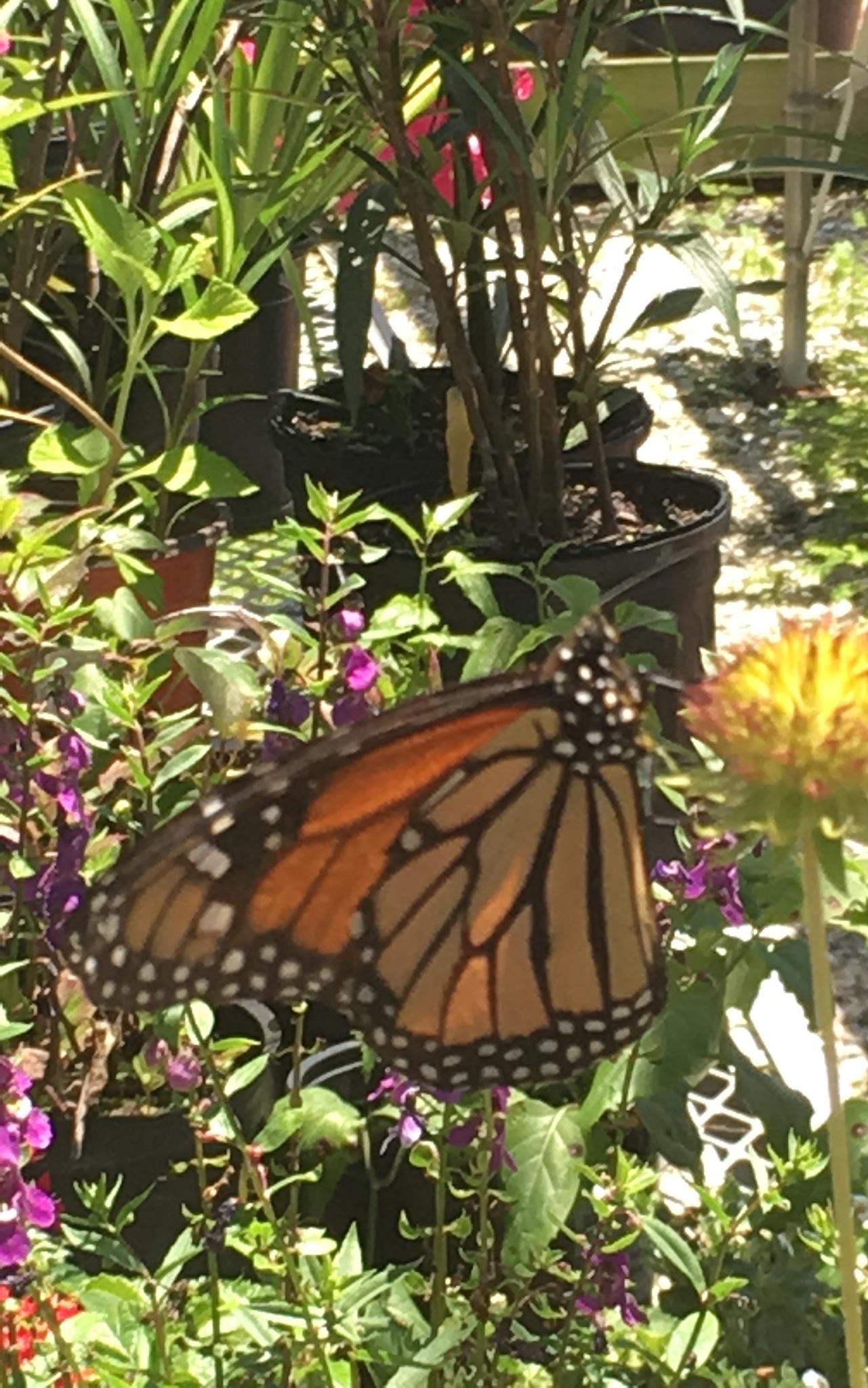 Monarch Butterfly  by pamela.kanarr