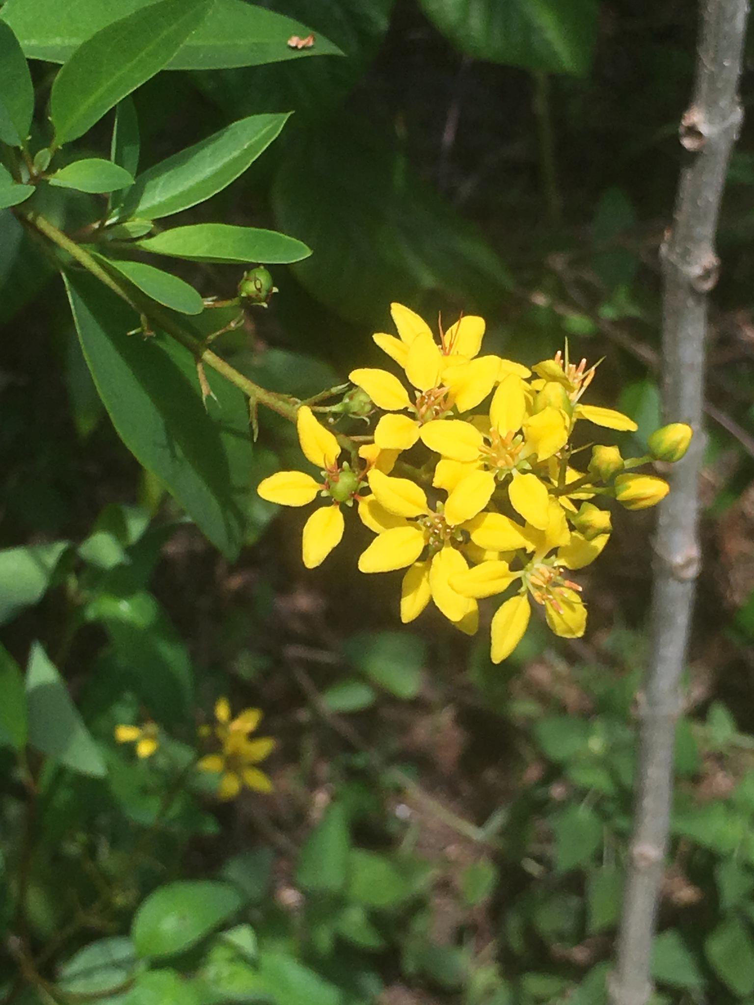 Yellow flowering bush  by pamela.kanarr