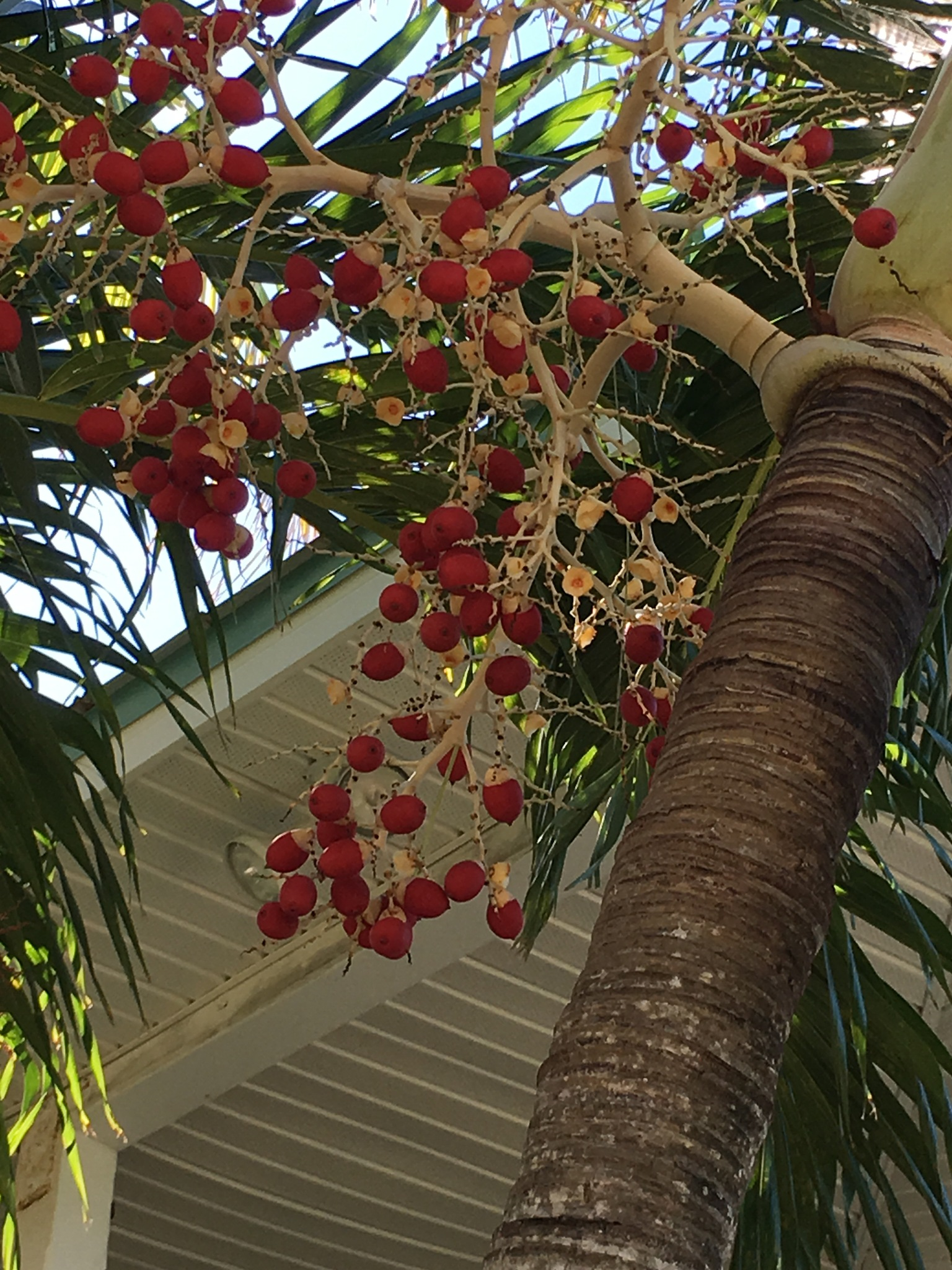 Palm nuts by pamela.kanarr