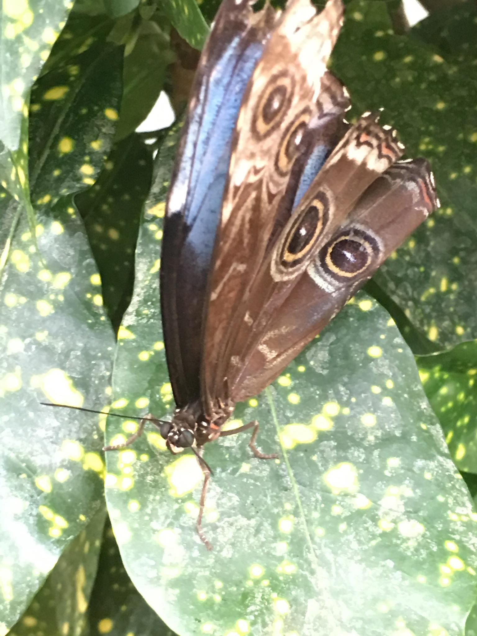 Blue morpho butterfly  by pamela.kanarr