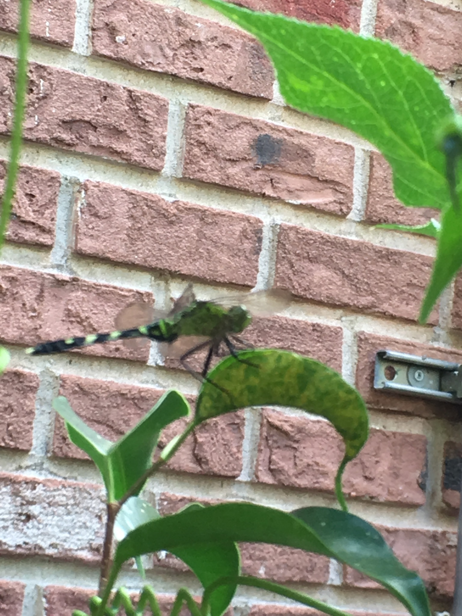 green dragonfly by pamela.kanarr