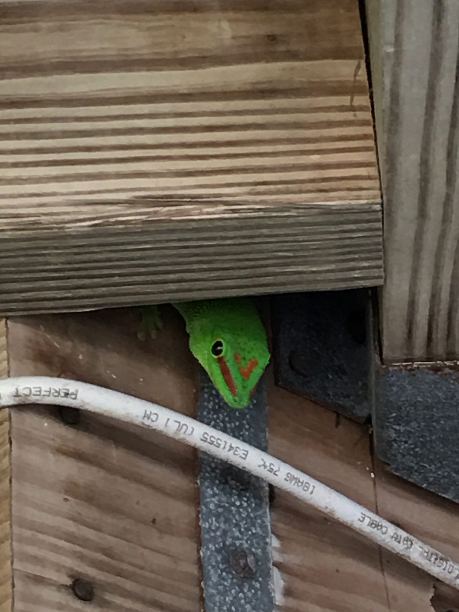 Madagascar gecko by pamela.kanarr