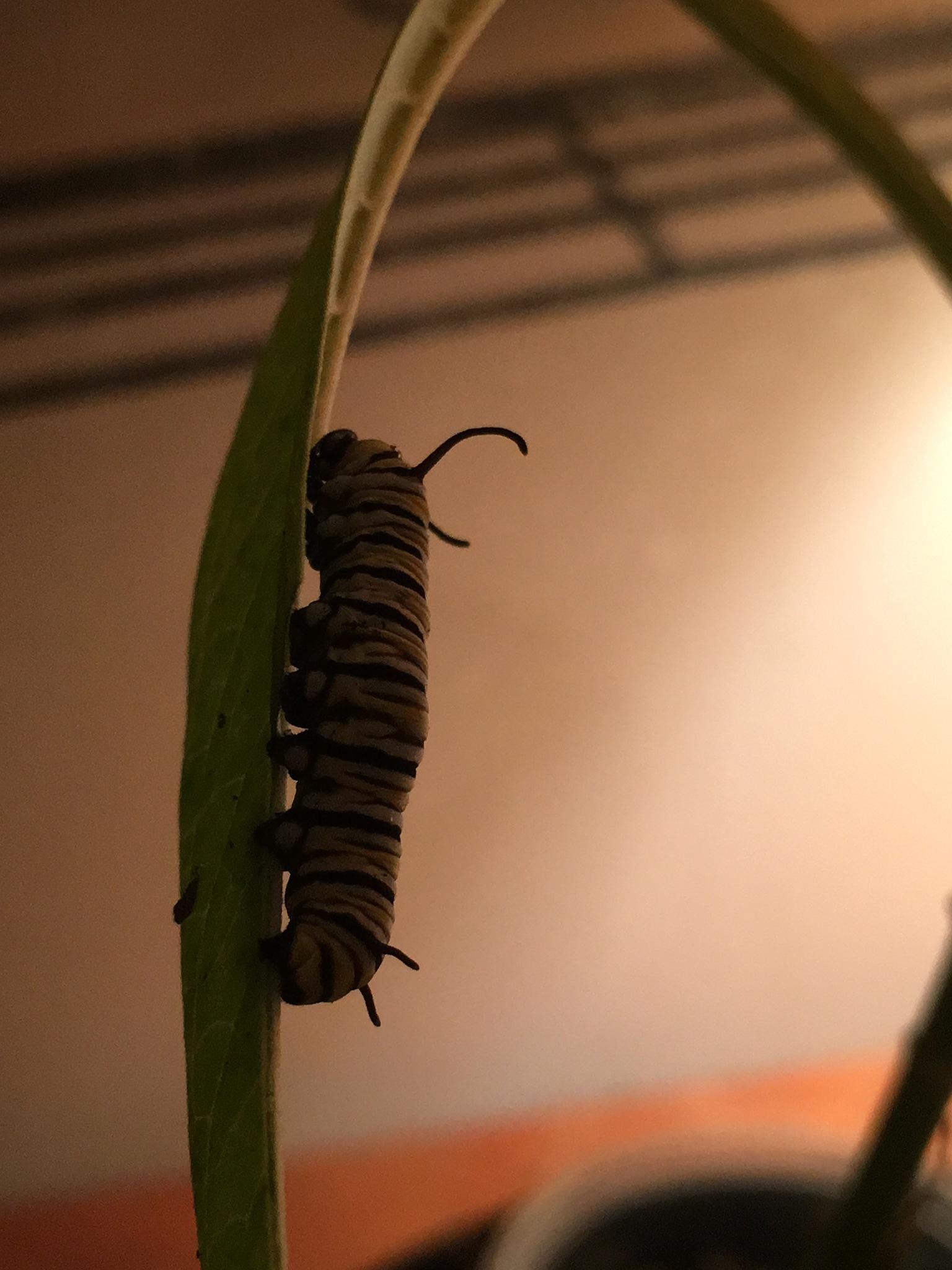 Evening  with caterpillars  by pamela.kanarr
