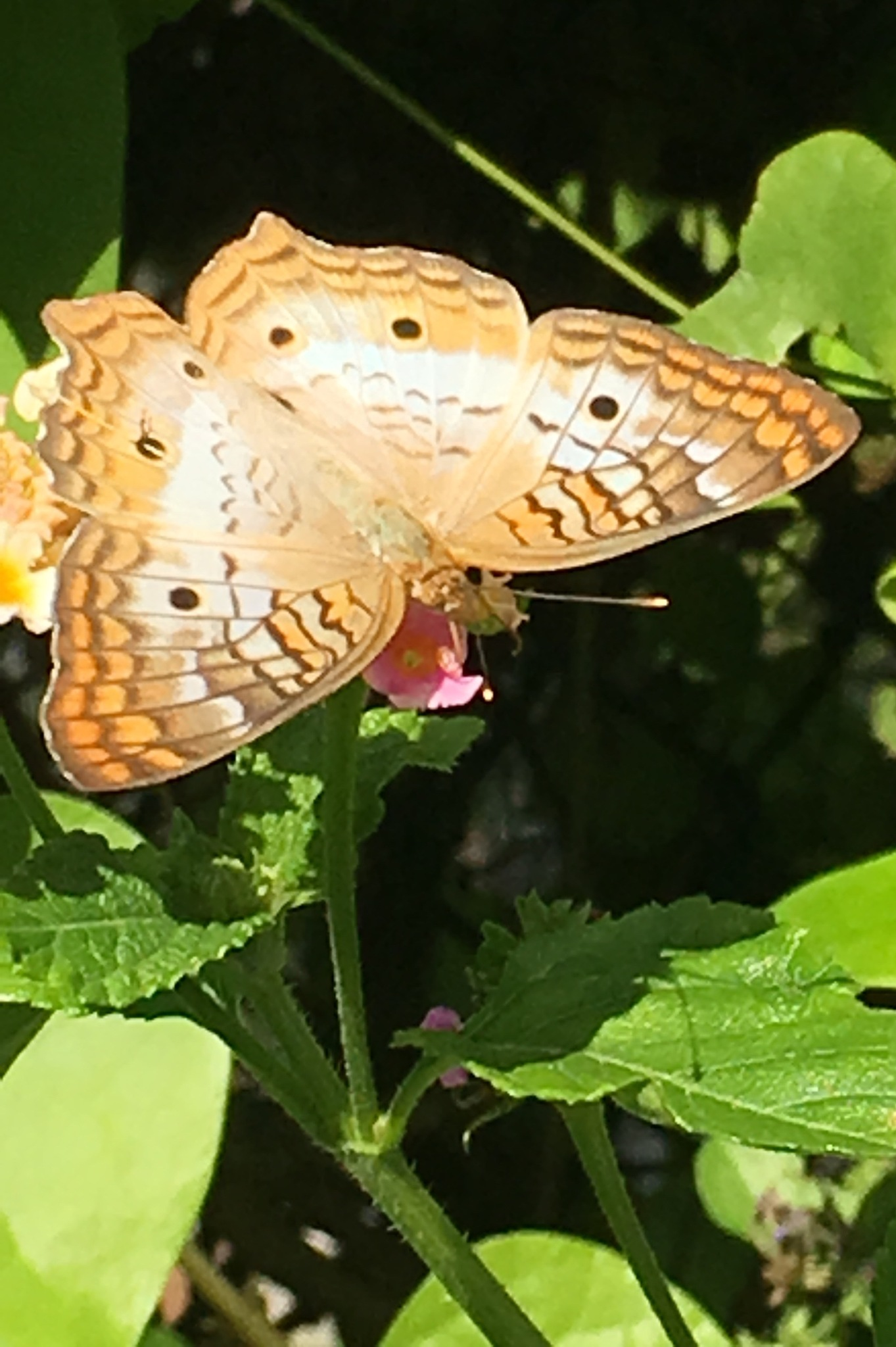 White peacock butterfly on lantana 3 by pamela.kanarr