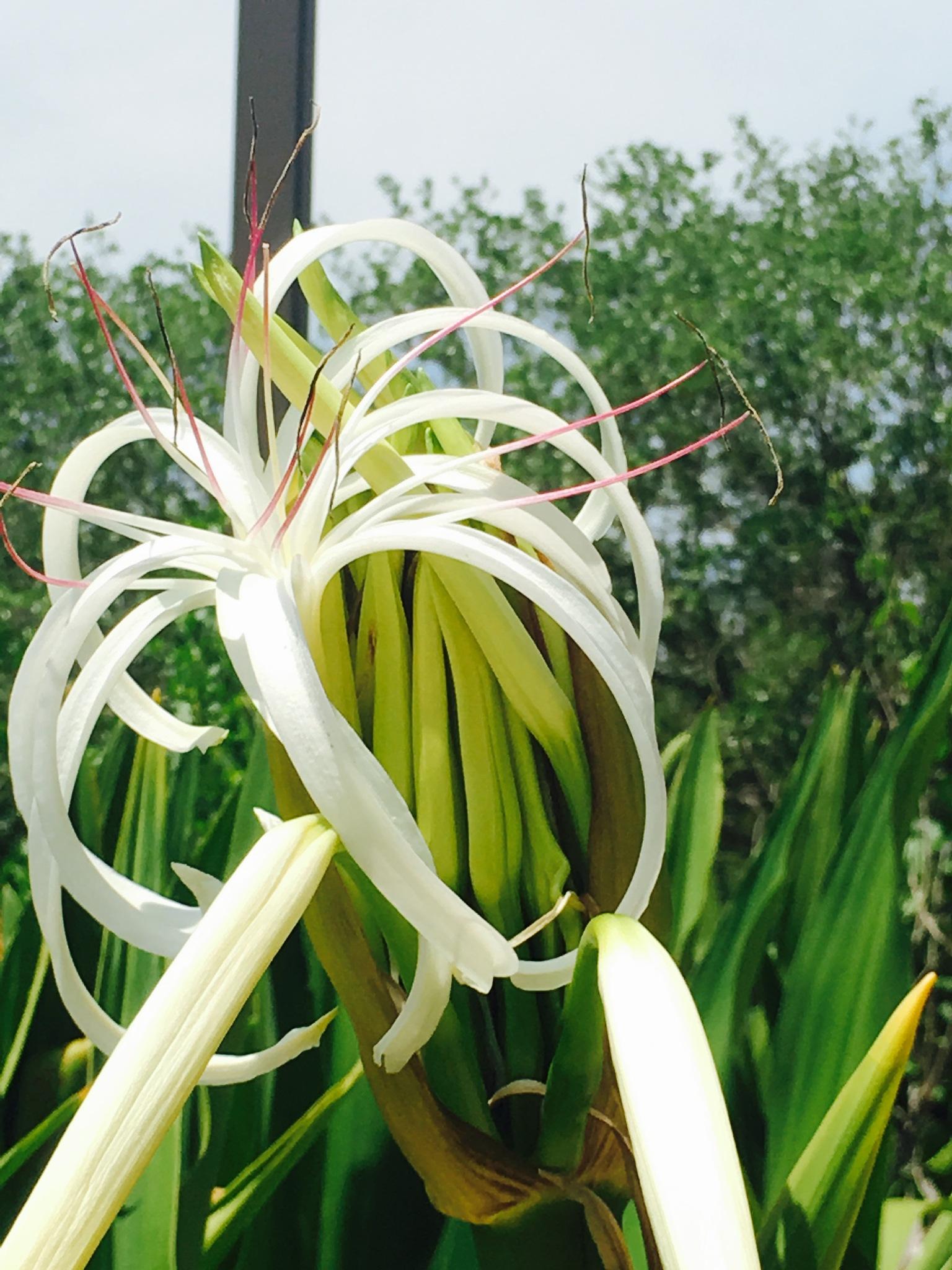 Lilies 2 by pamela.kanarr