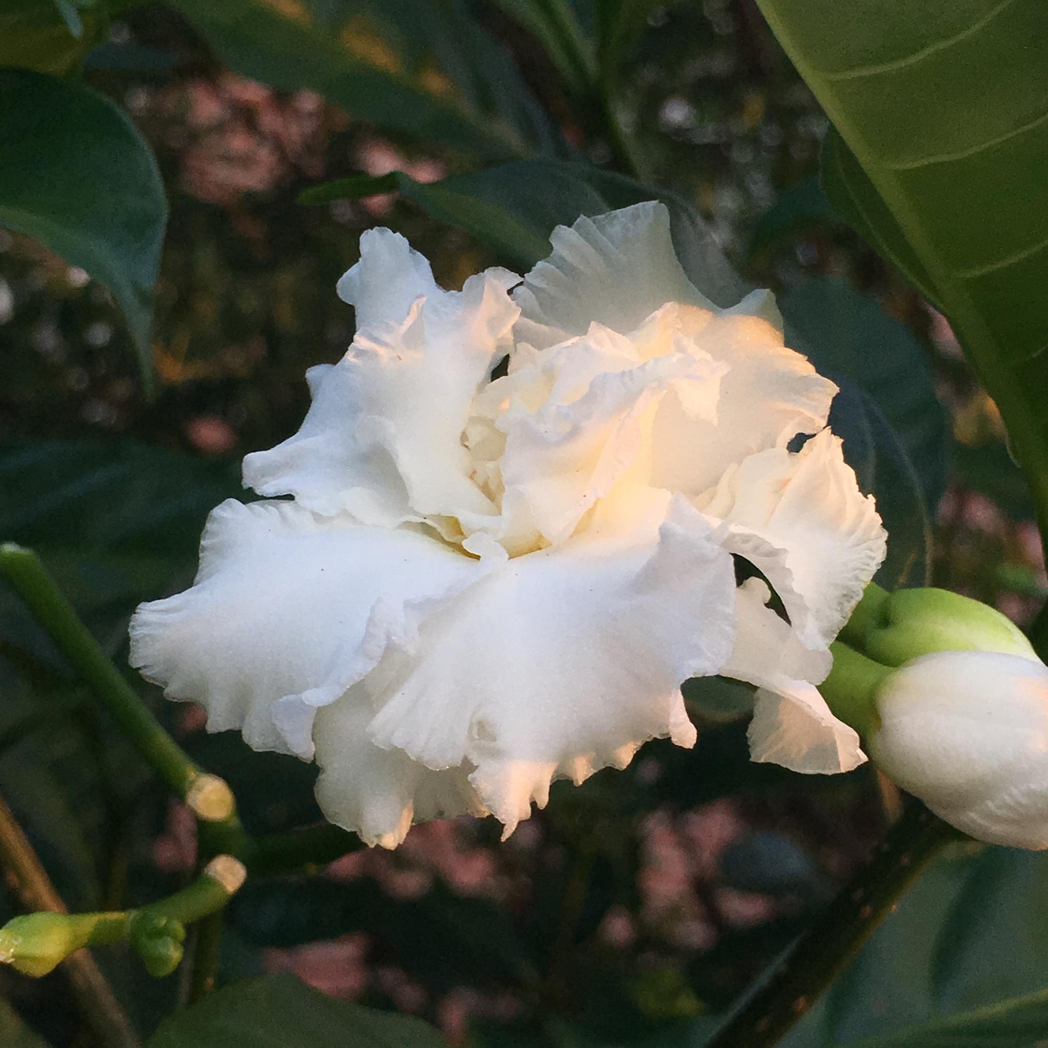 gardenia by pamela.kanarr