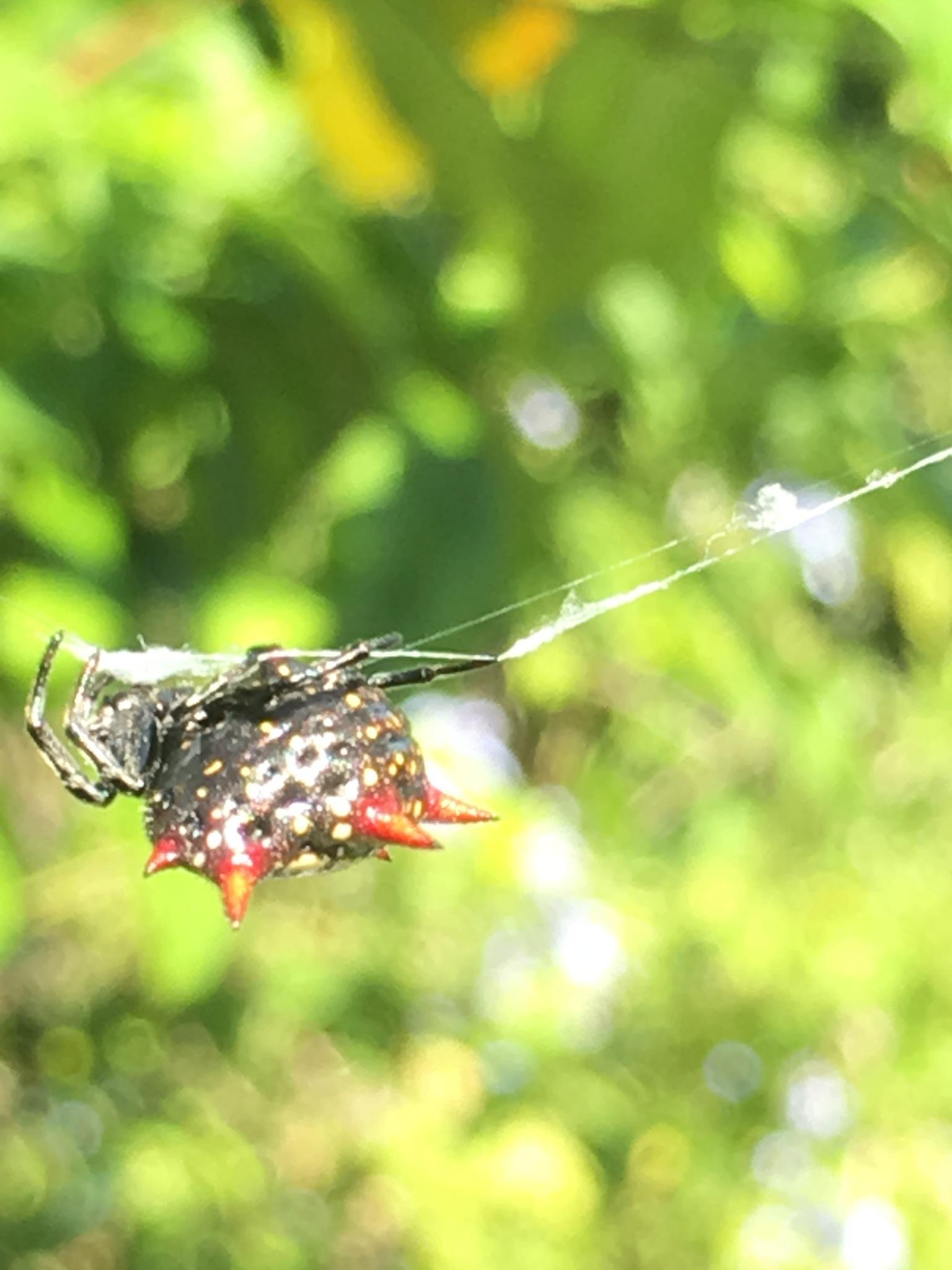 Spiny orb weaver upside down  by pamela.kanarr