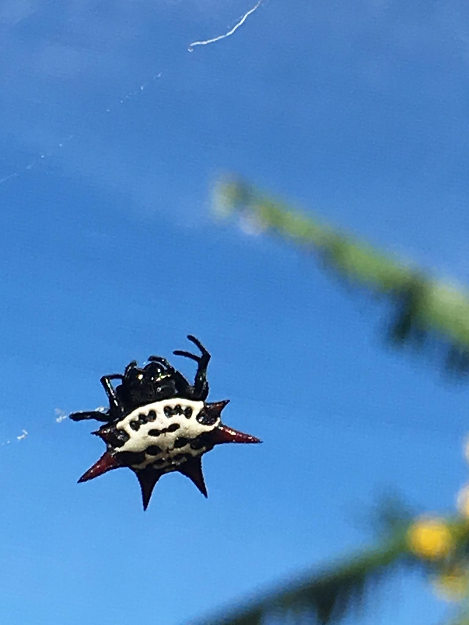 Spiny orb weaver spider by pamela.kanarr