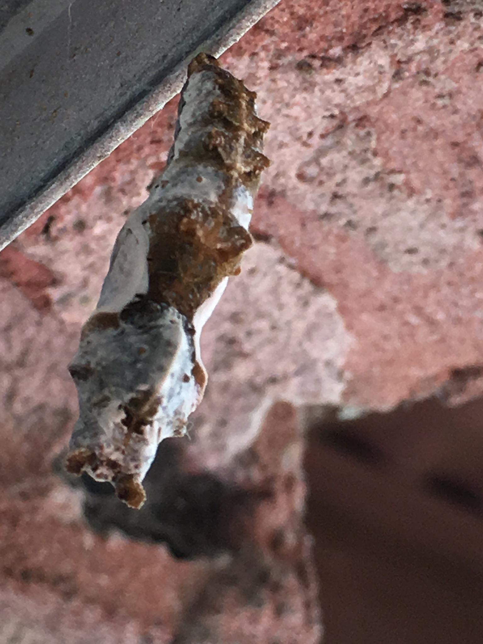 Gulf fritillary chrysalis  by pamela.kanarr
