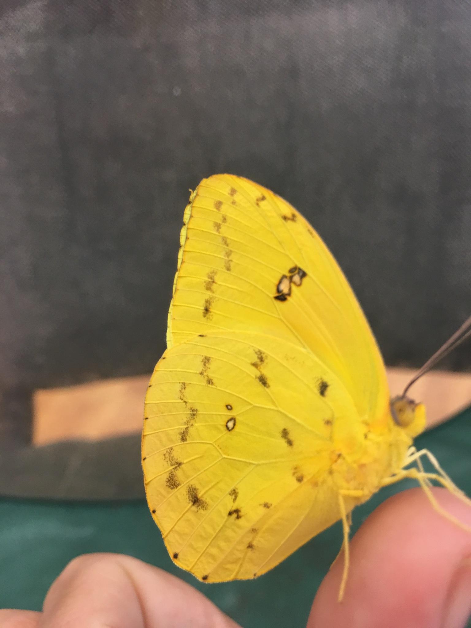 Cloudless sulfur butterfly  by pamela.kanarr