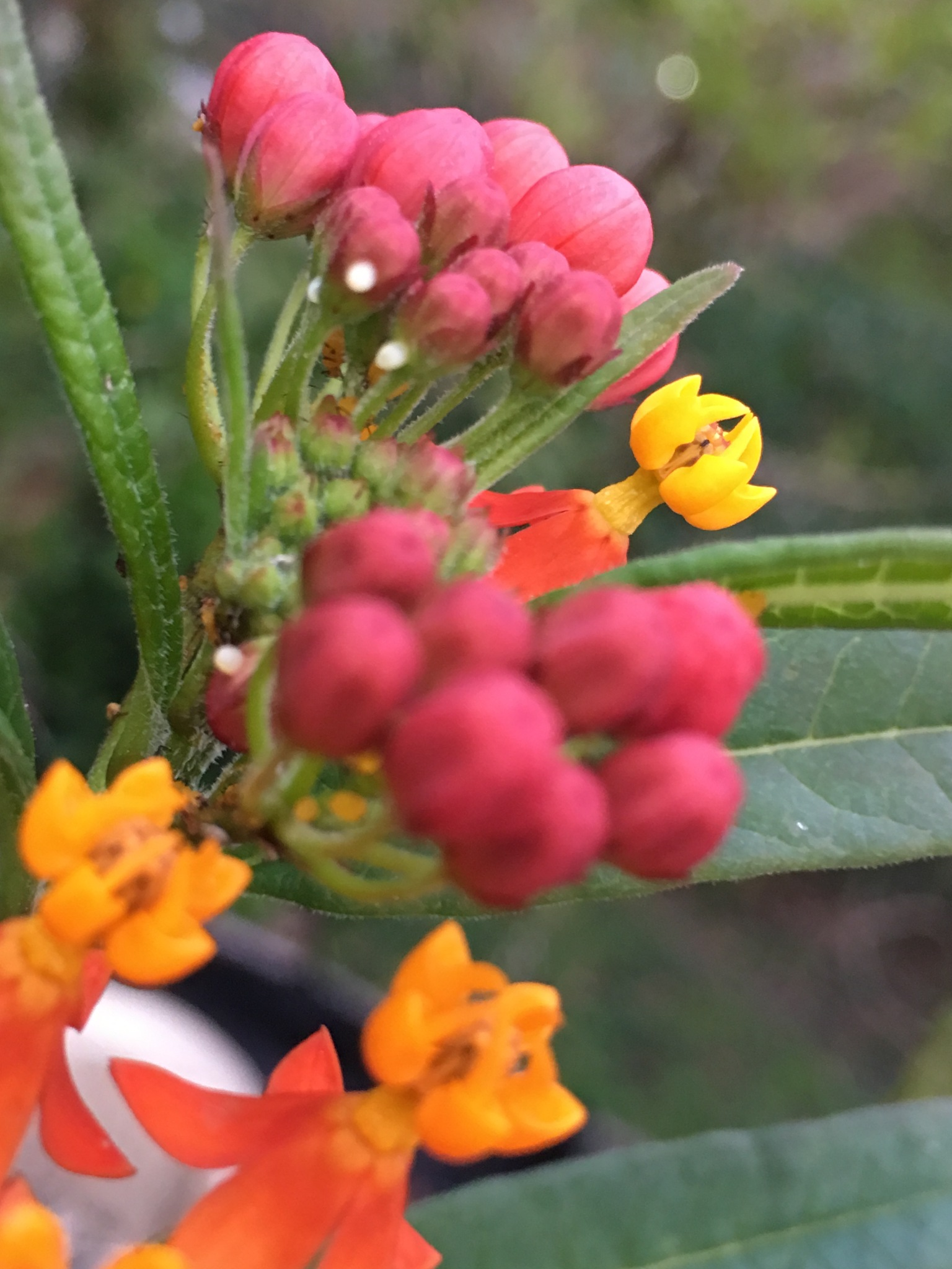 Butterfly eggs on flower buds by pamela.kanarr
