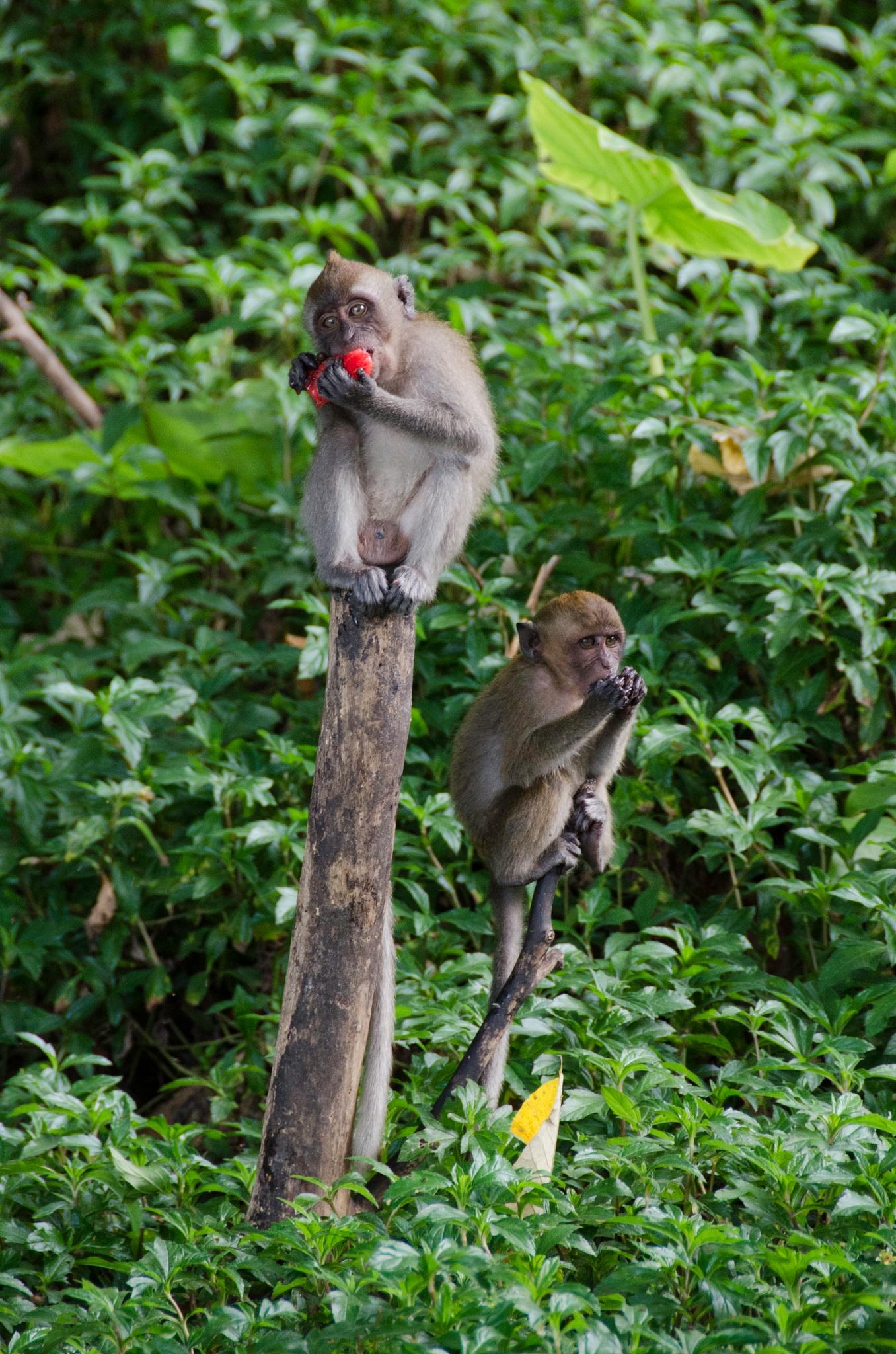 Monkeys Thailand  by Tony Bridges
