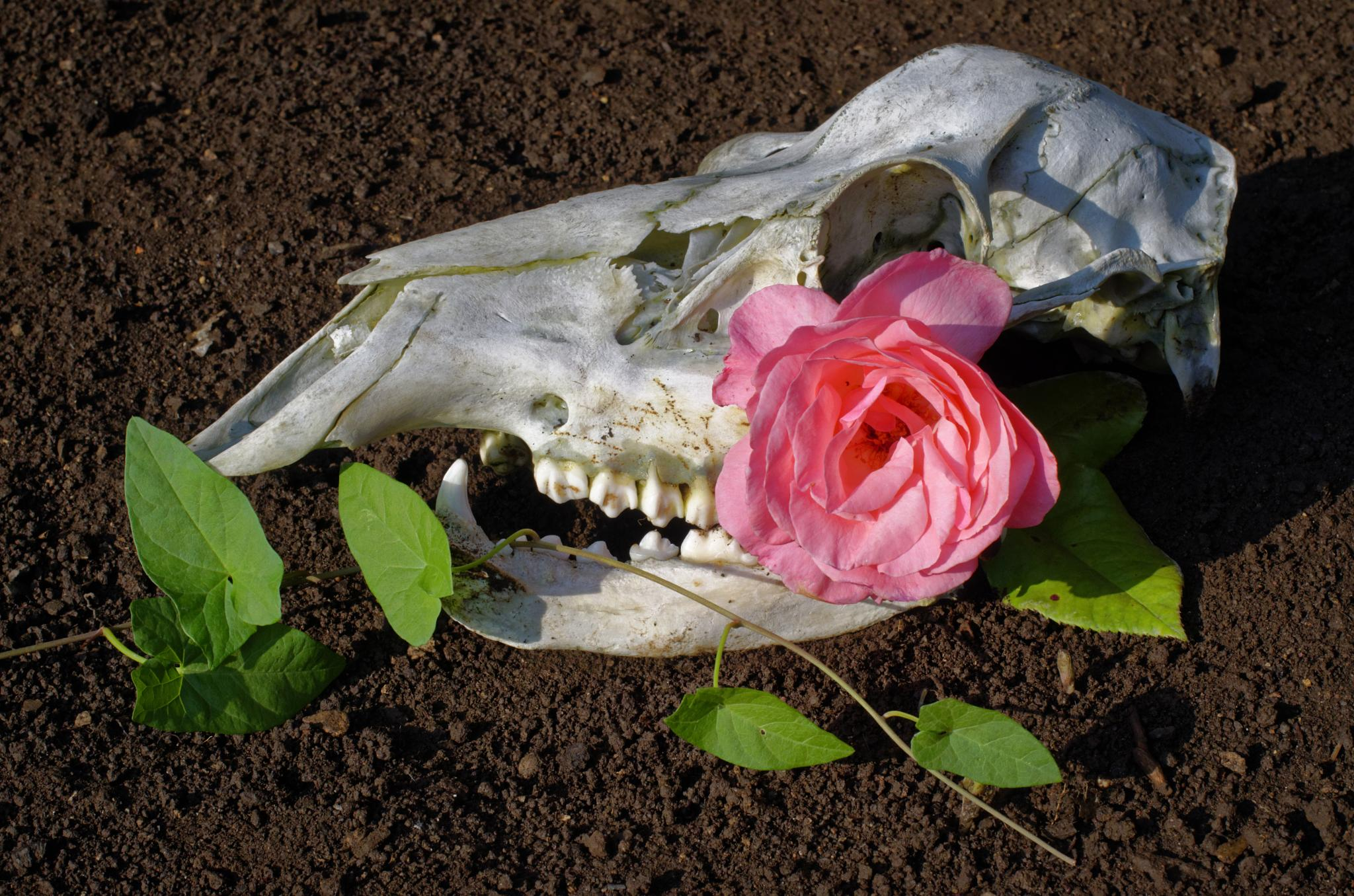 Photo in Abstract #scull #rose #death #goth