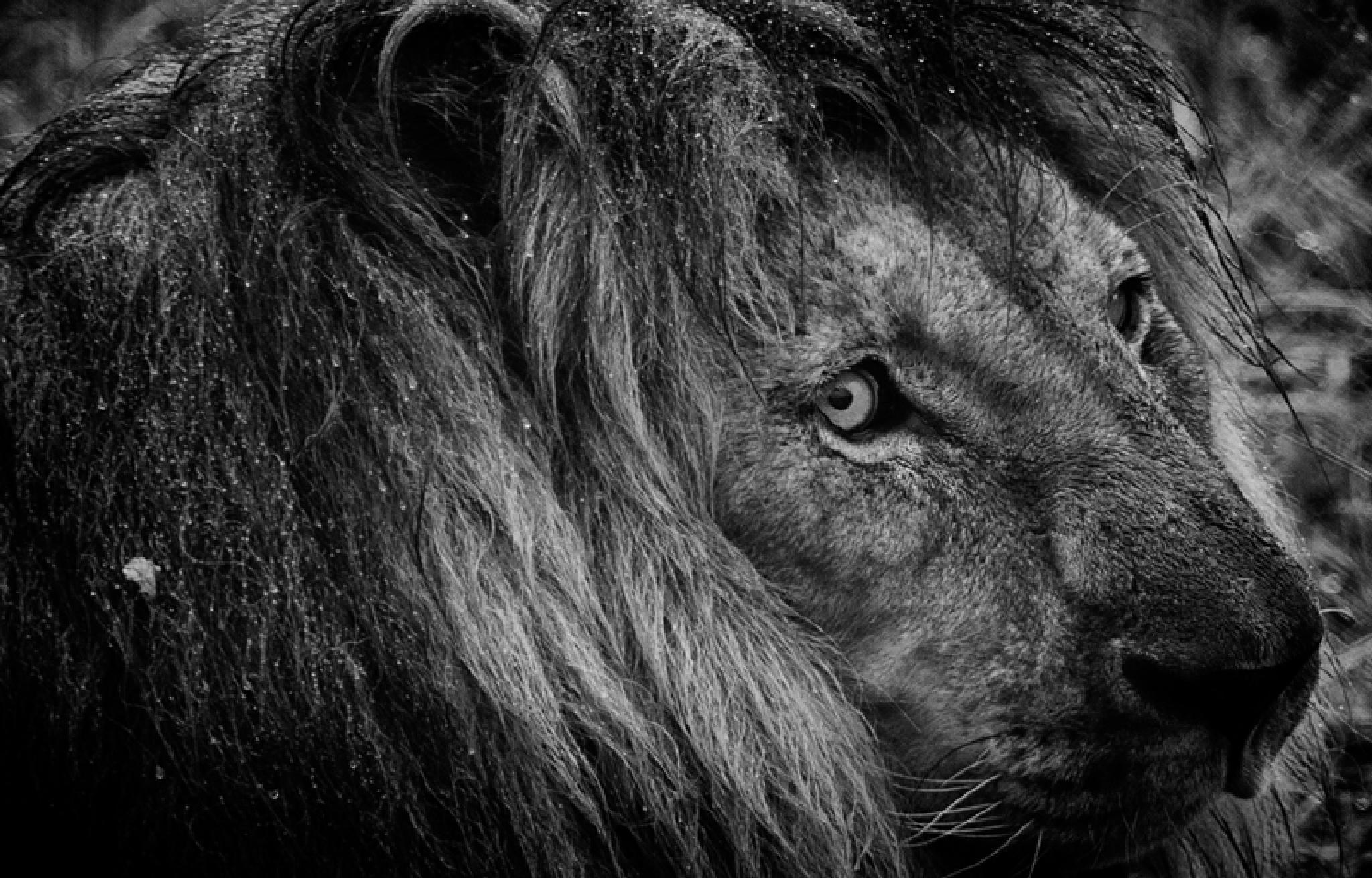 Hilane Lion by bharat patel