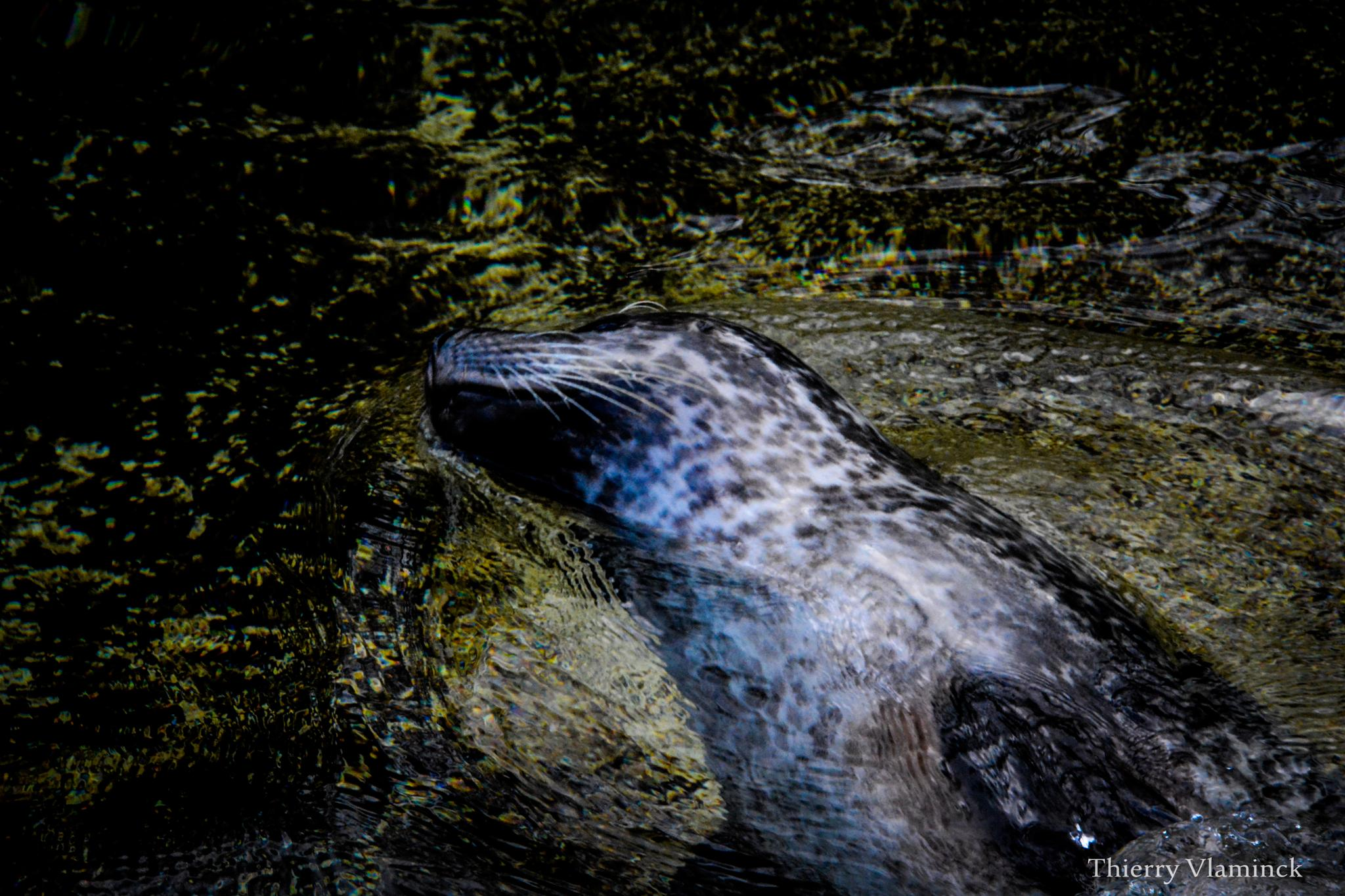 seal gliding through water by Thierry Vlaminck