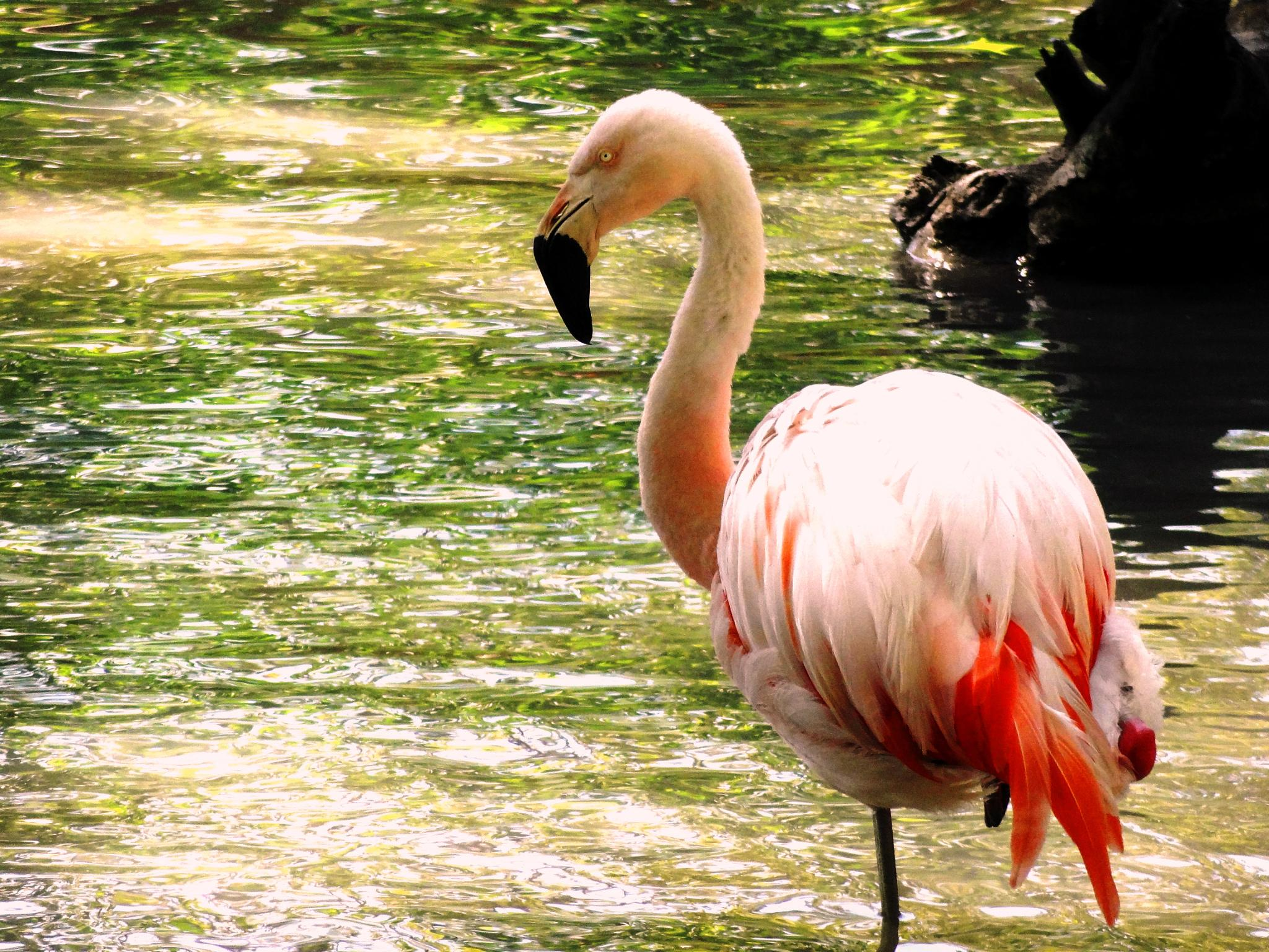 Beauty and elegance-Flamingo by Mica