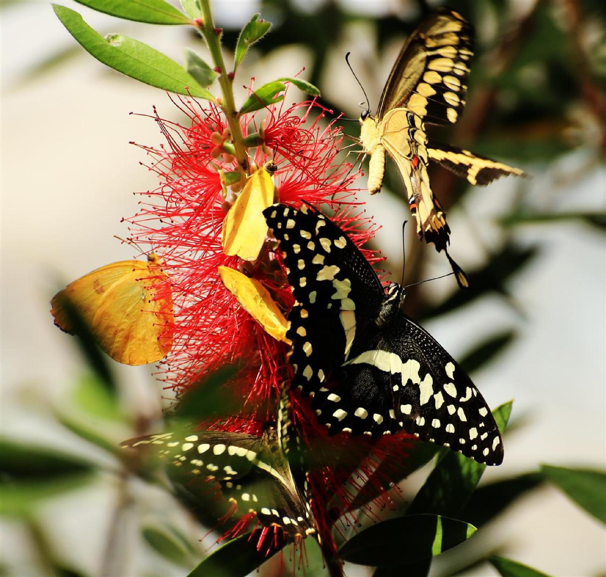 Butterfly Bottle Brush III by portillo45