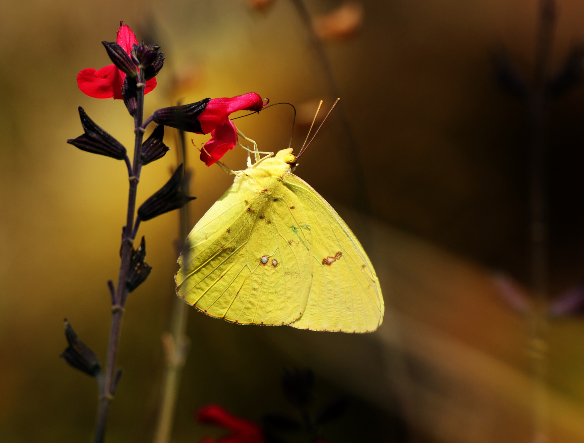 Butterfly by portillo45