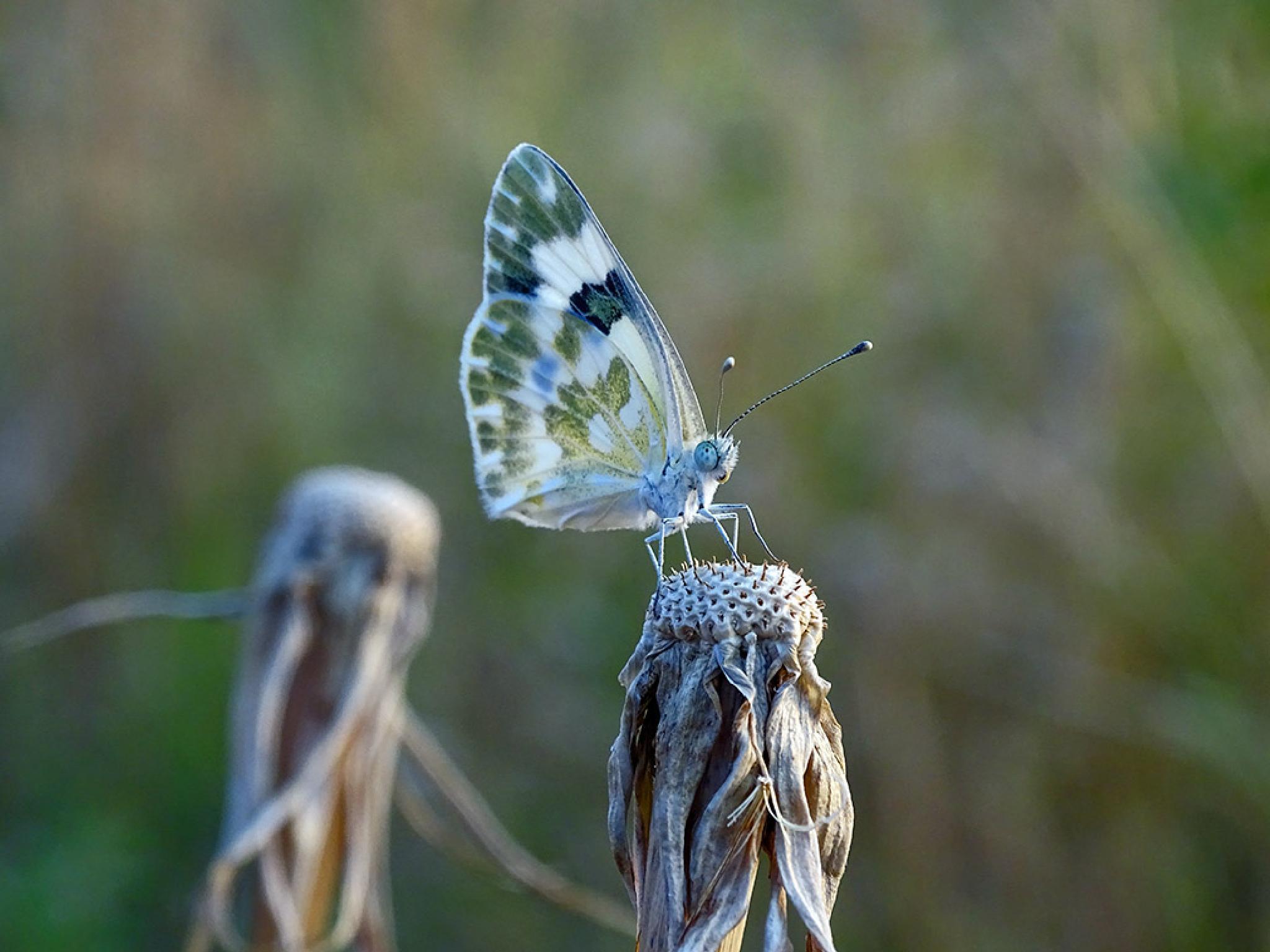 Butterfly-2 by Jamal -Kurdistan