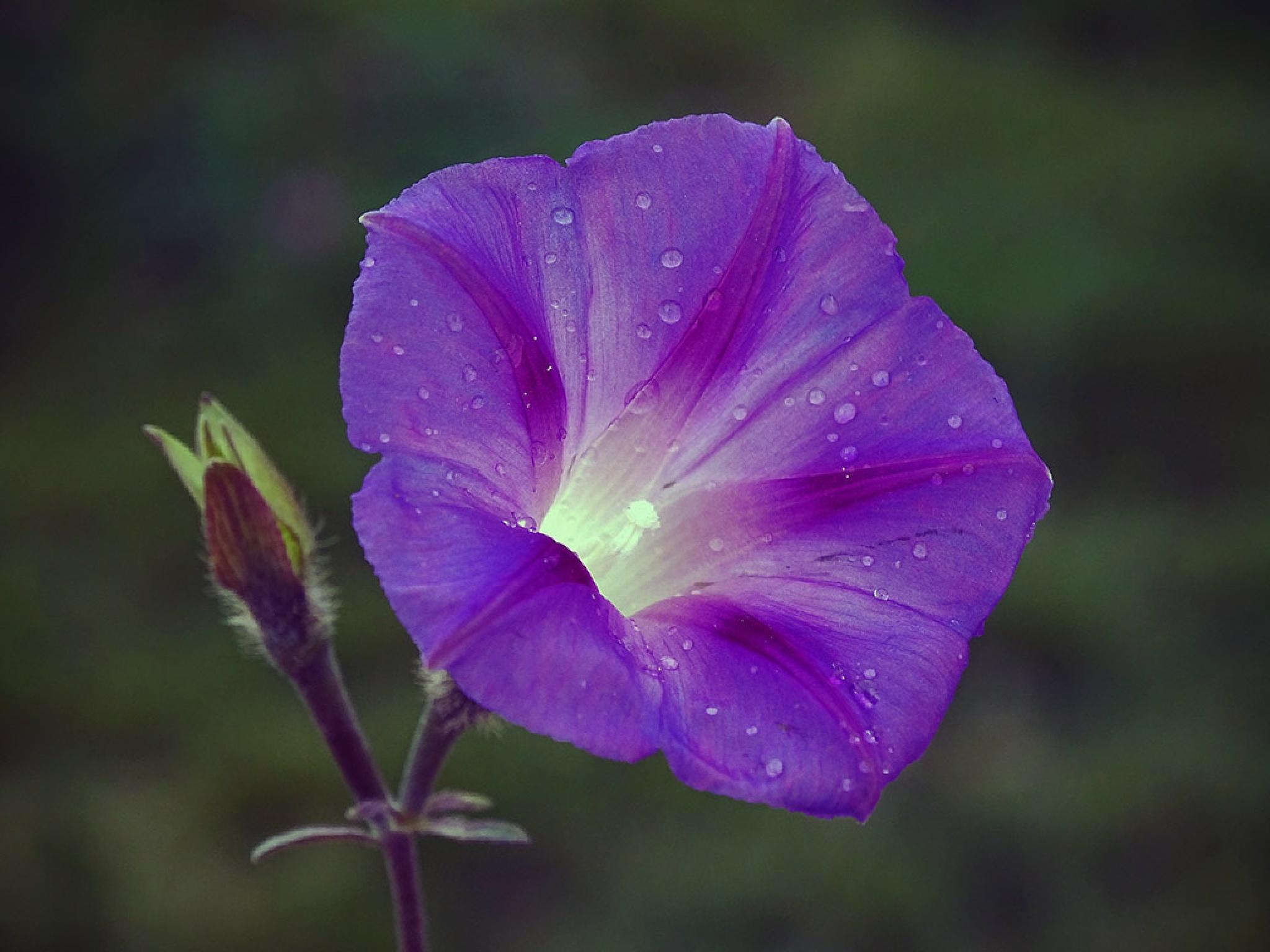 Morning flower by Jamal -Kurdistan
