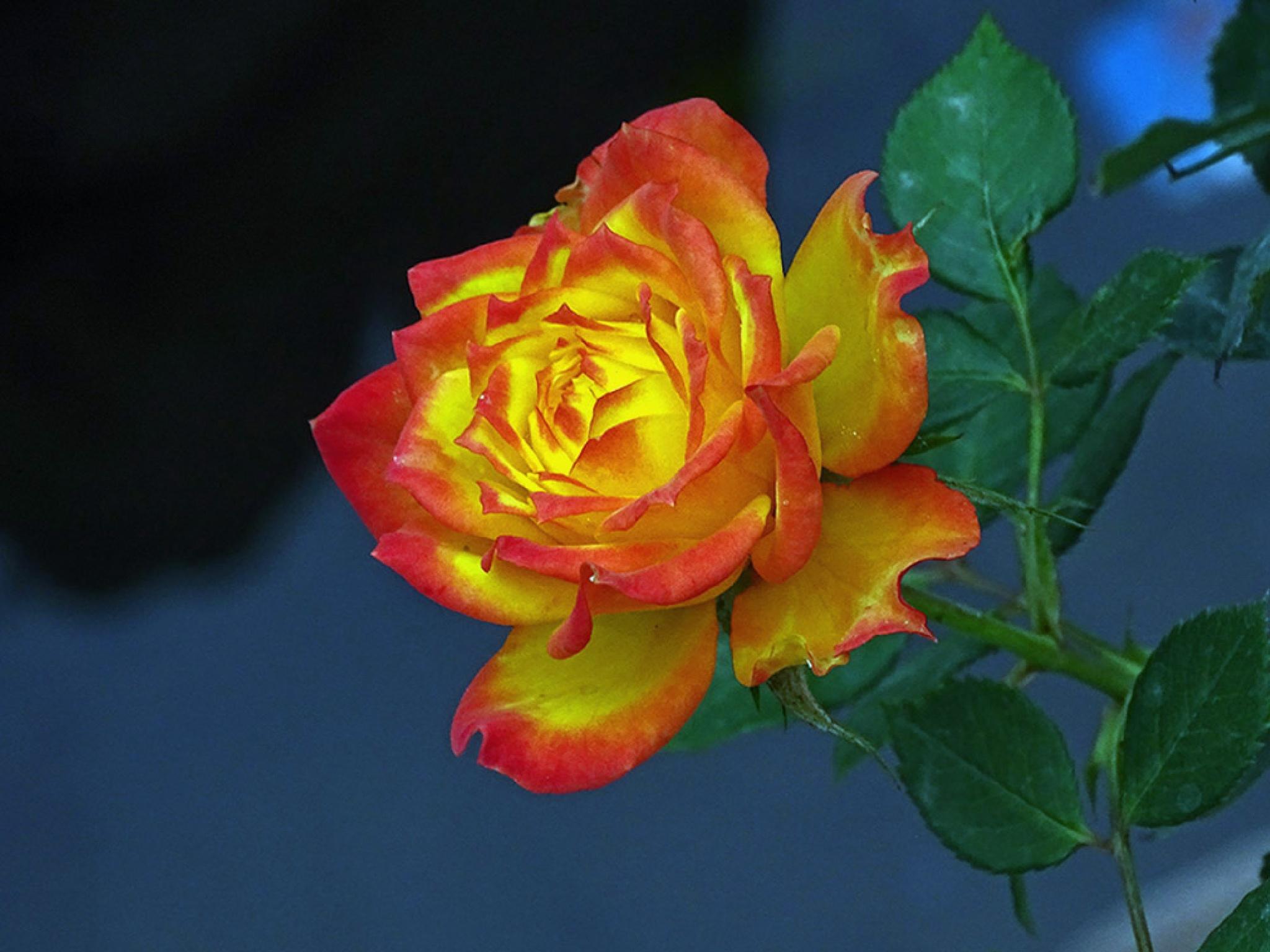 Rose 1 by Jamal -Kurdistan