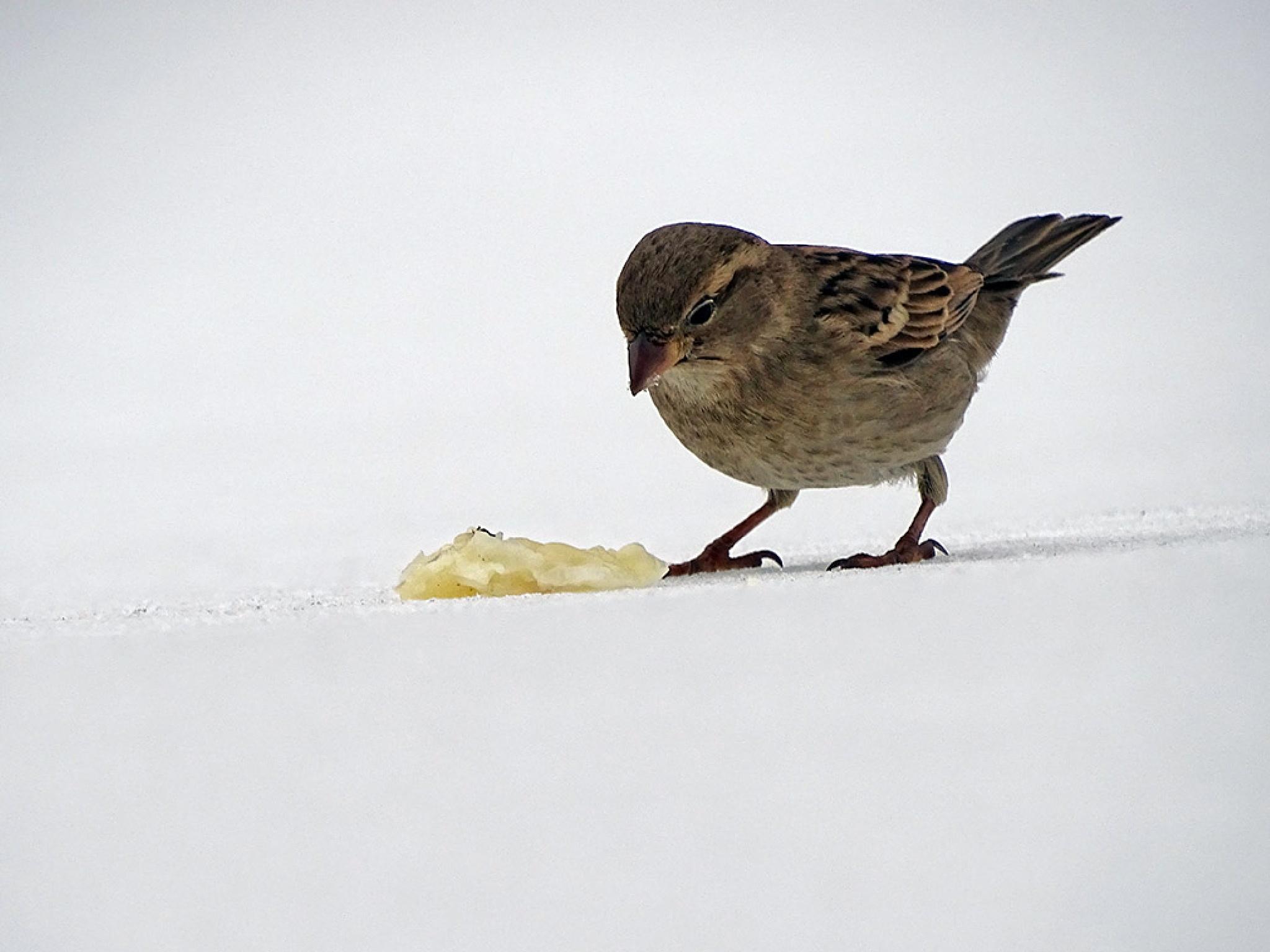 Sparrow by Jamal -Kurdistan