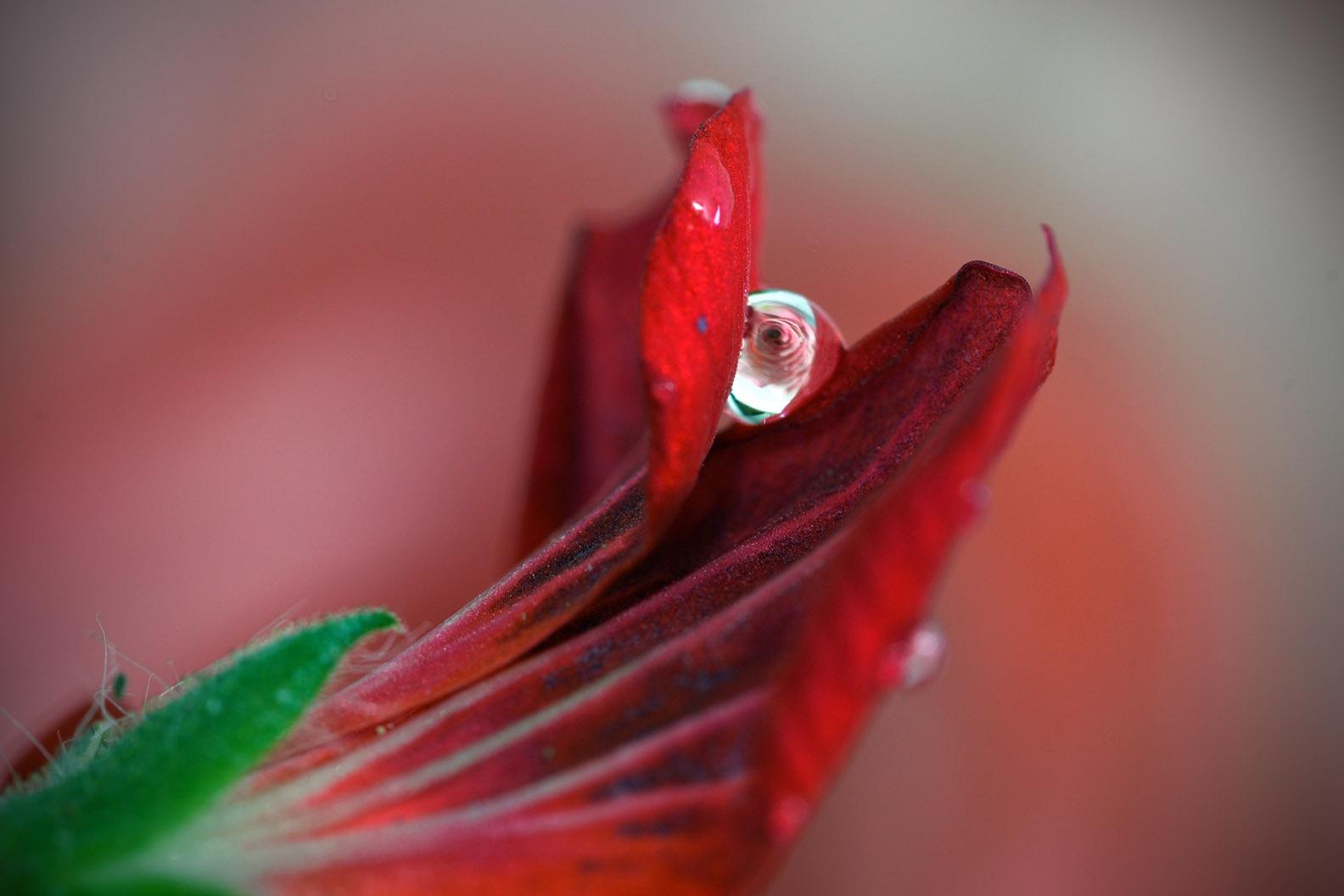 Geranium flower  by Jamal -Kurdistan